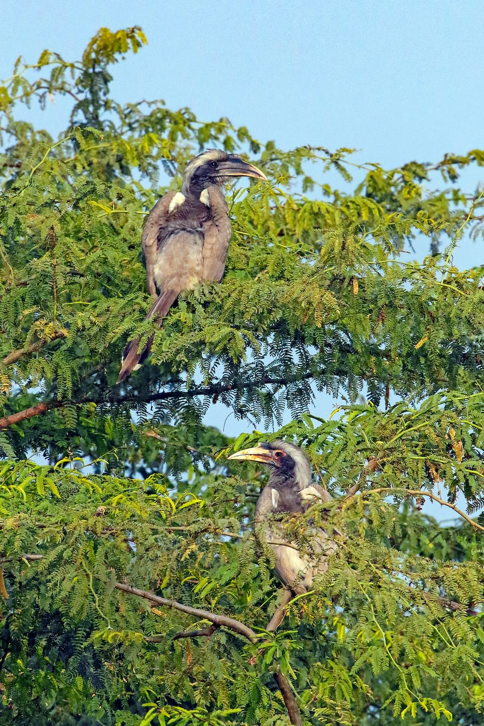 Indian grey hornbills form monogamous couples and are often spotted in pairs on fruiting trees.