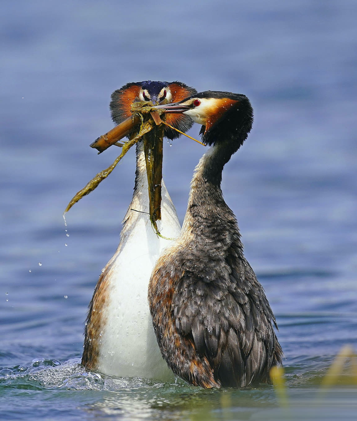 The elaborate mating ritual of the great crested grebe involves 'mewing' and calling, synchronised swimming, preening and fanning out their neck feathers. These birds were once almost hunted to extinction in the UK for the plumes on their head. Photo: Wang LiQiang/Shutterstock  Cover photo: Measuring around 40 to 60 cm in length and weighing up to 500 to 1500 gm, the great crested grebe is the largest of the grebes. The wetlands of Jamnagar, Gujarat, where this individual was photographed, hosts a sizeable population of these birds. Cover photo: Neel Sureja