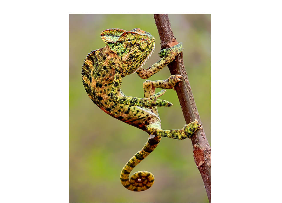 Chameleons change colour to thermoregulate and interact with each other based on their mood. This chameleon photographed in Mangaon, Raigad, is displaying colours of stress and agitation.  Photo: Shantanu Kuveskar, CC BY-SA 4.0  Cover: India has only one known species of chameleon, the Asian chameleon (Chameleo zeylanicus). Cover photo: Kedar Bhide