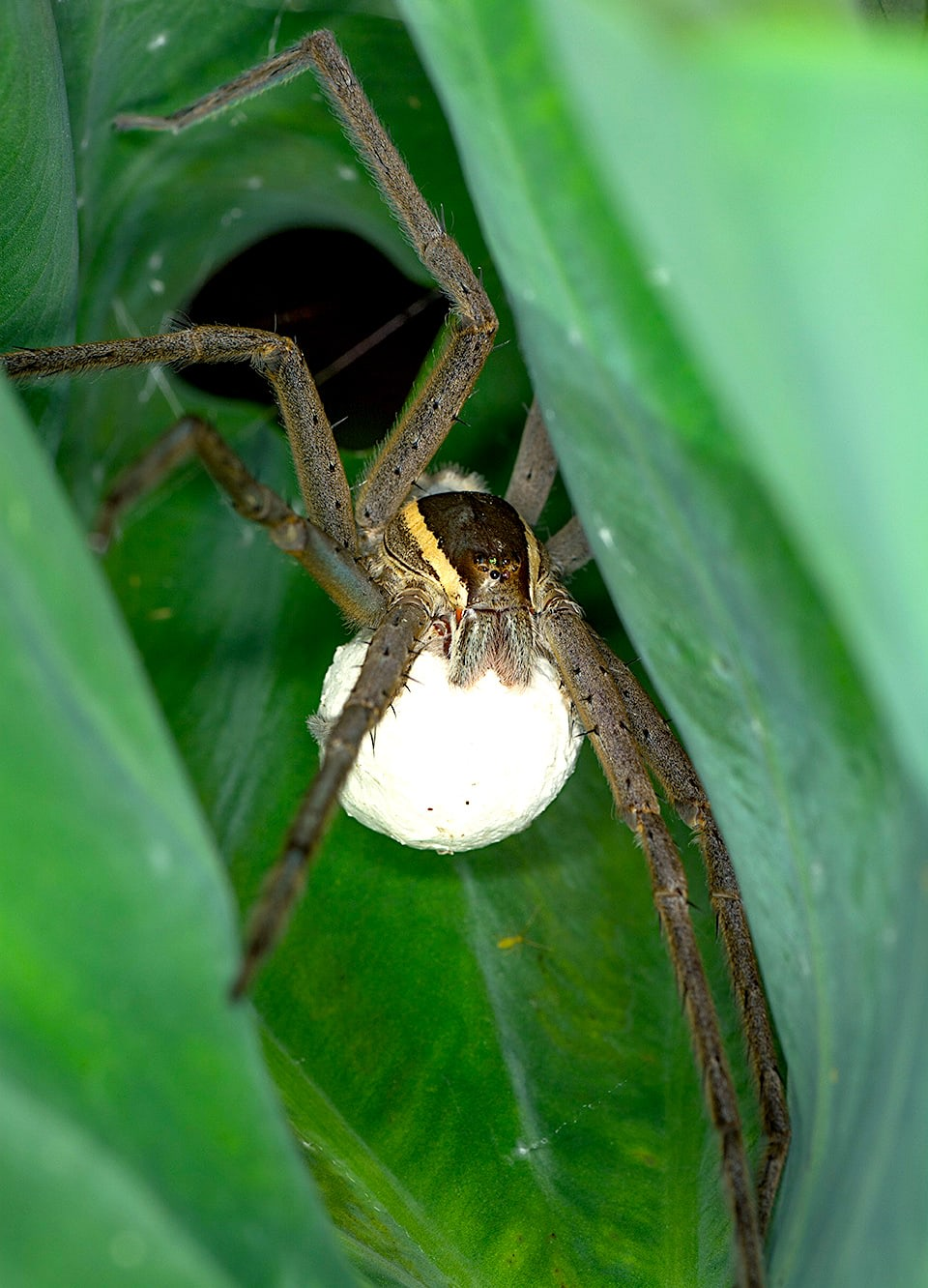 Observation in this swamp suggests that the monsoon is possibly their breeding season. The female fishing spider wraps herself between leaves and carries her egg sacs. All female spiders of the nursery web family usually carry their egg sacs under their body with their chelicerae (pair of pincer-like appendages in front of their mouths). This is a key difference between these spiders and the similar looking wolf spiders. Female wolf spiders carry their egg sacs behind them using their silk-spinning organs (spinnerets).