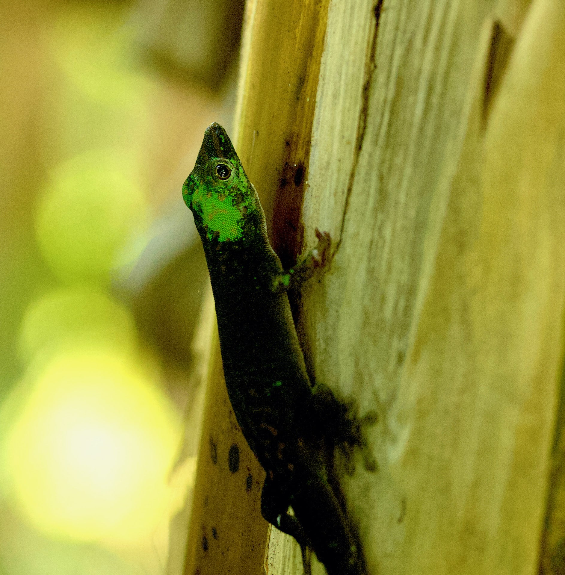 The Andaman day gecko changes its skin colour to sooty-grey or black when threatened. Several other day geckos are known to display this behaviour.  Photo: Ashwini V. Mohan