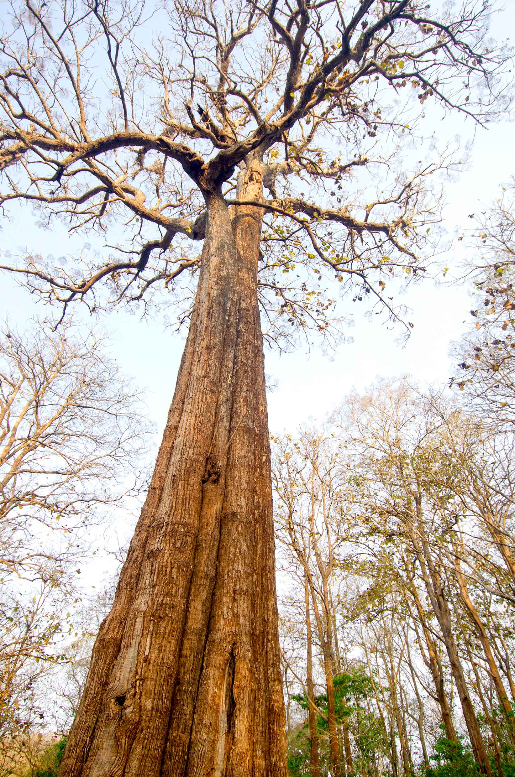 The Kannimmara tree, said to be over 400 years old, is one of the oldest living teak trees in the reserve. Legend has it that when the tree was cut, blood spurted from it. Since then it has been referred to as the