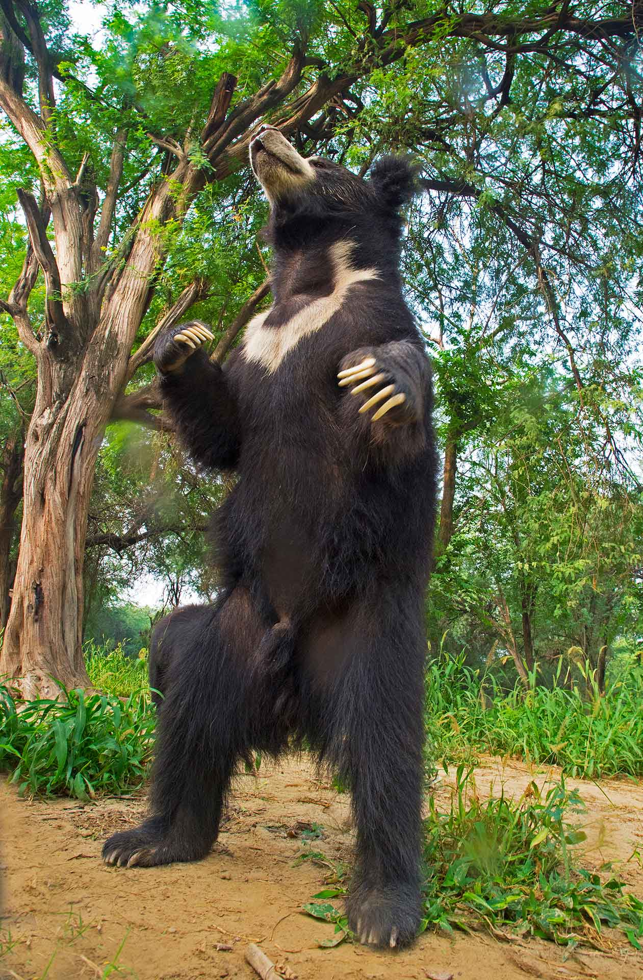 """For decades, sloth bears across India were illegally captured and turned into """"dancing bears"""". They were separated from their mothers at a young age, chained, and treated brutally in the name of training. They were forced to perform on street corners and earn a livelihood for communities that had been doing it for generations and saw no other way to earn money. Thanks to funding, community outreach programmes, and awareness drives by organisations such as Wildlife SOS, dancing bears are now largely considered a thing of the past."""