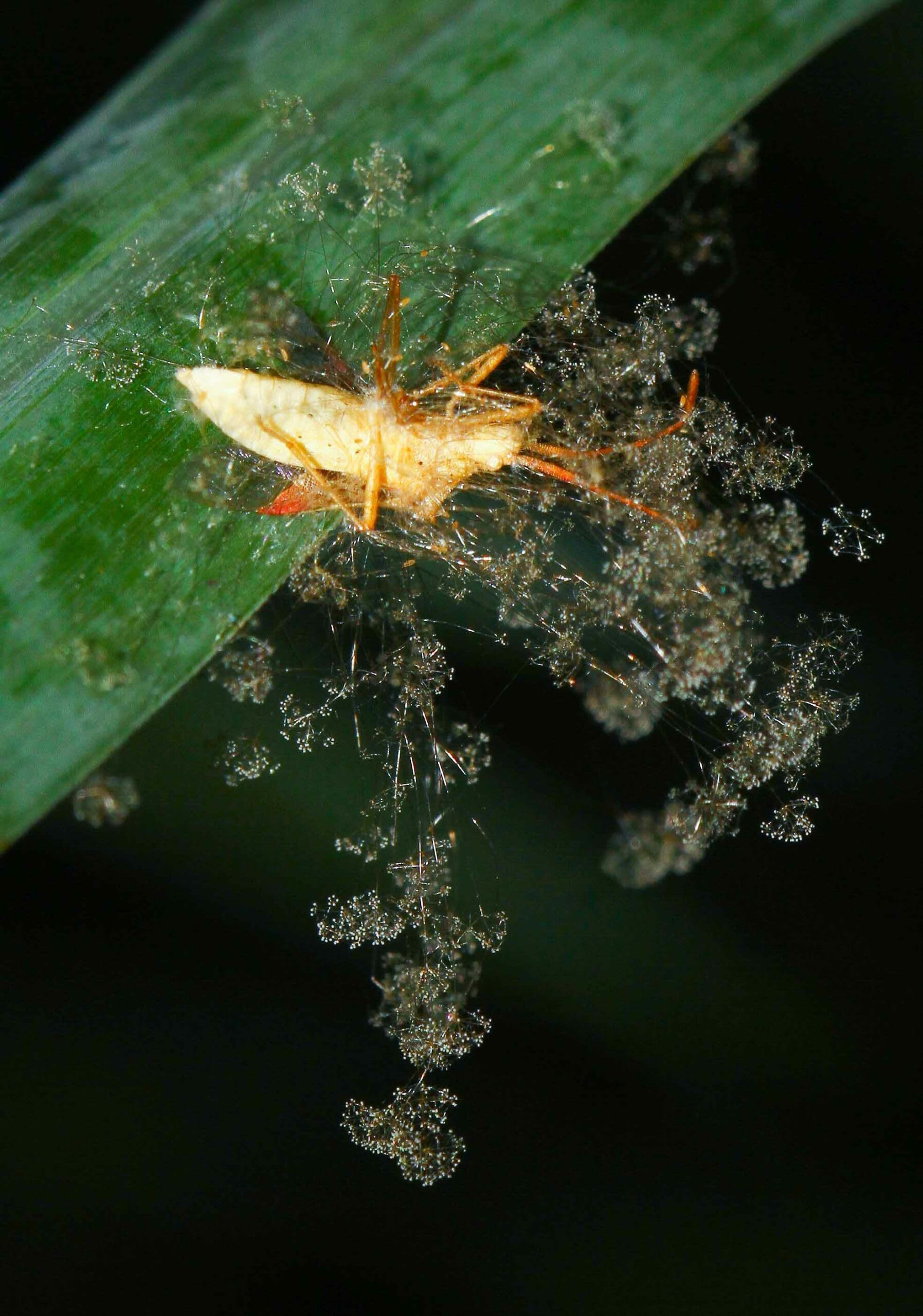 """(Top left) Cordyceps fungi growing on a forest cockroach. (Top right) A cordyceps erupting its spore-bearing """"horn"""" from the head-joint of a Camponotus ant. (Above) The sparkler fungus is a pathogenic Ascomycota fungus; this one has infected a Hemipteran bug. The spores of these fungi need to enter orally to infect the host. Photos: Jaisal Singh Bhati (top left and above), Aniruddha Dhamorikar (top right)  Cover photo: Daddy long legs spider infected by cordyceps fungus. The fungus has covered the body of the dead spider. The whitish fur-like structures are the fruiting bodies of the fungi. Photo: Ripan Biswas."""