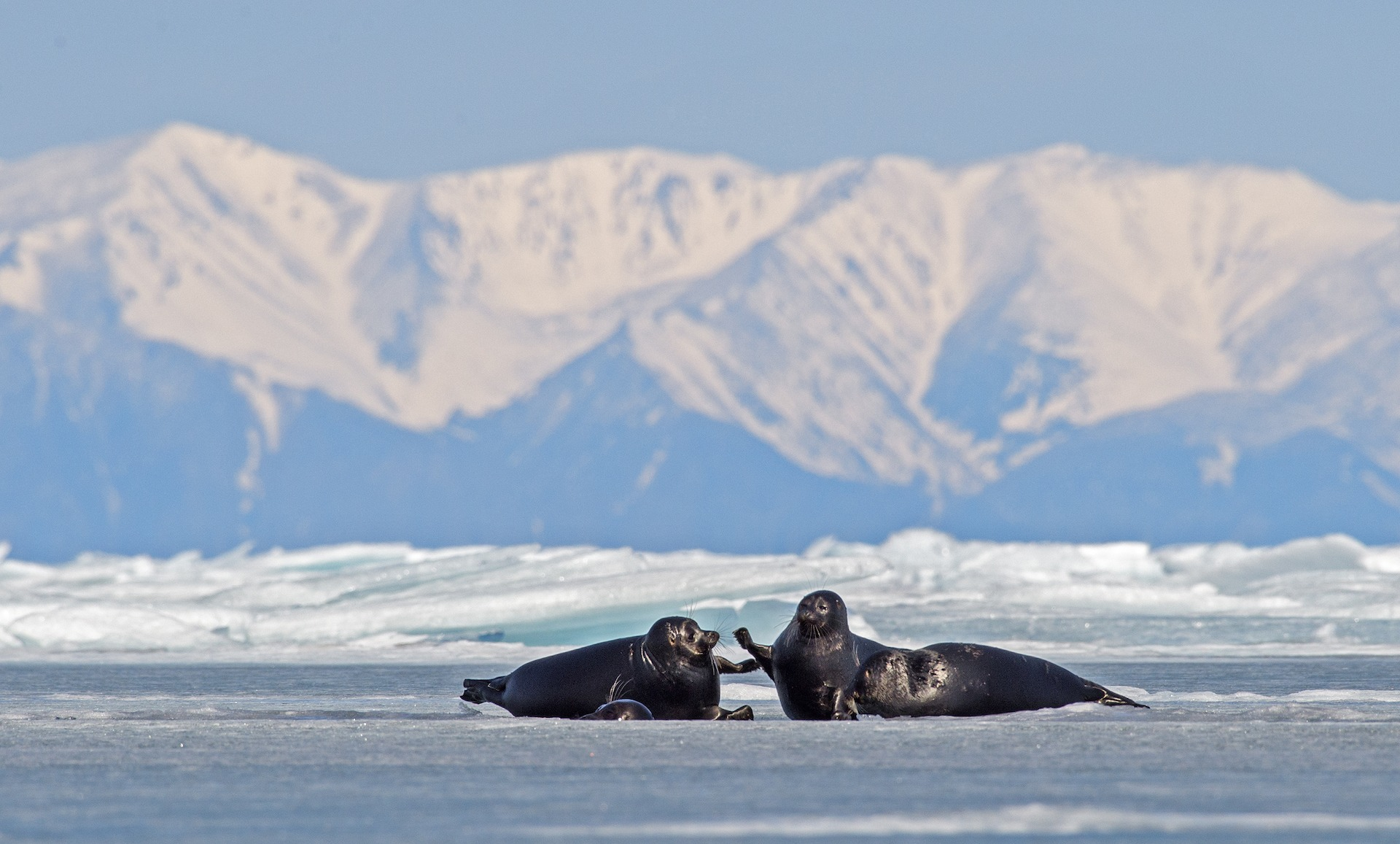 In winter, Nerpas use their teeth, claws, and head to create holes in the ice, so they can slip into the water if danger approaches. They also use the holes to surface for air during hunting dives.
