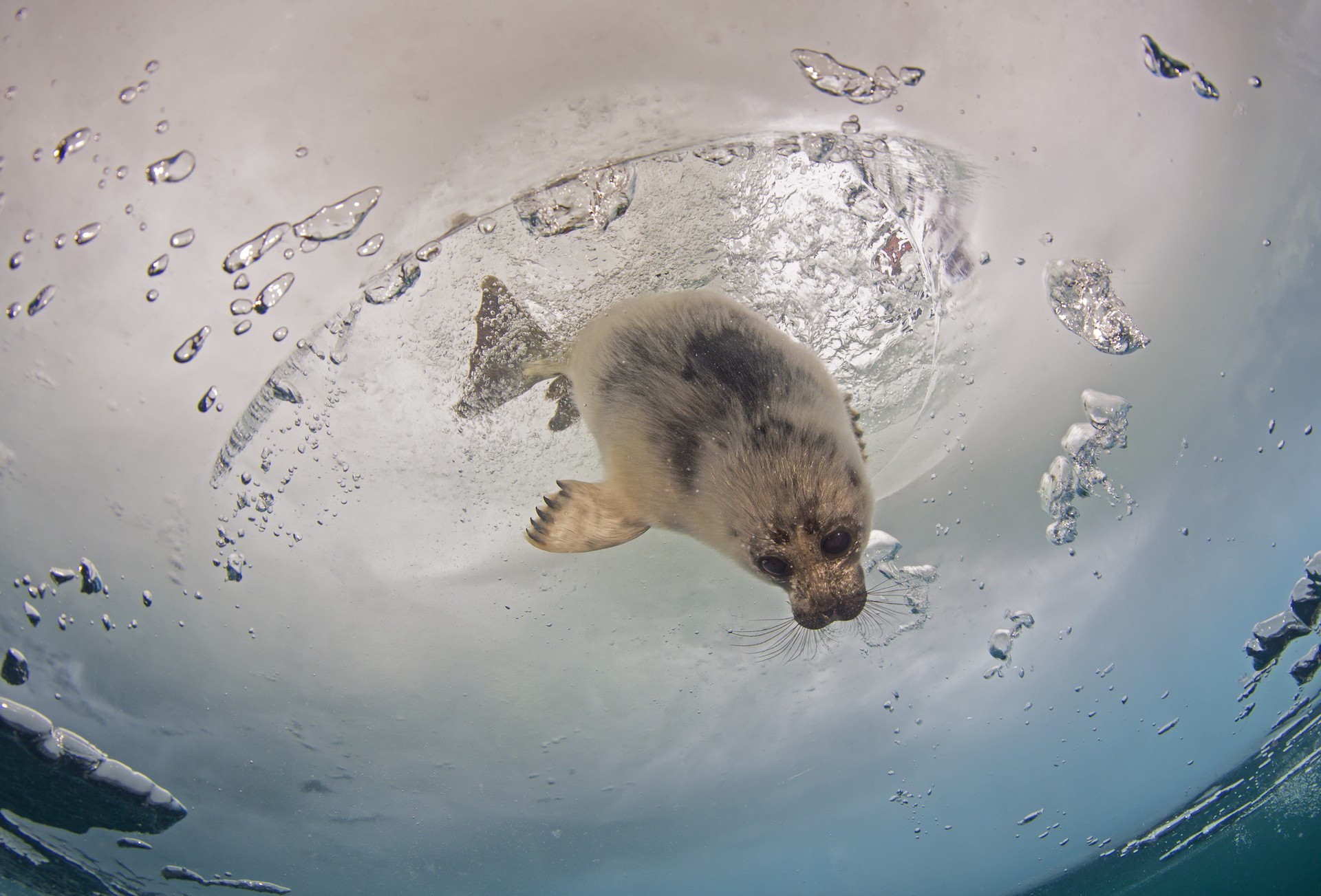 Shortly after my land encounter, the pup decided to go for a swim. So I did too. This image shows the seal entering the water from the hole in the ice. Underwater, I had my tanks for air, but the seal needed to return to the surface intermittently, for a breath of air.
