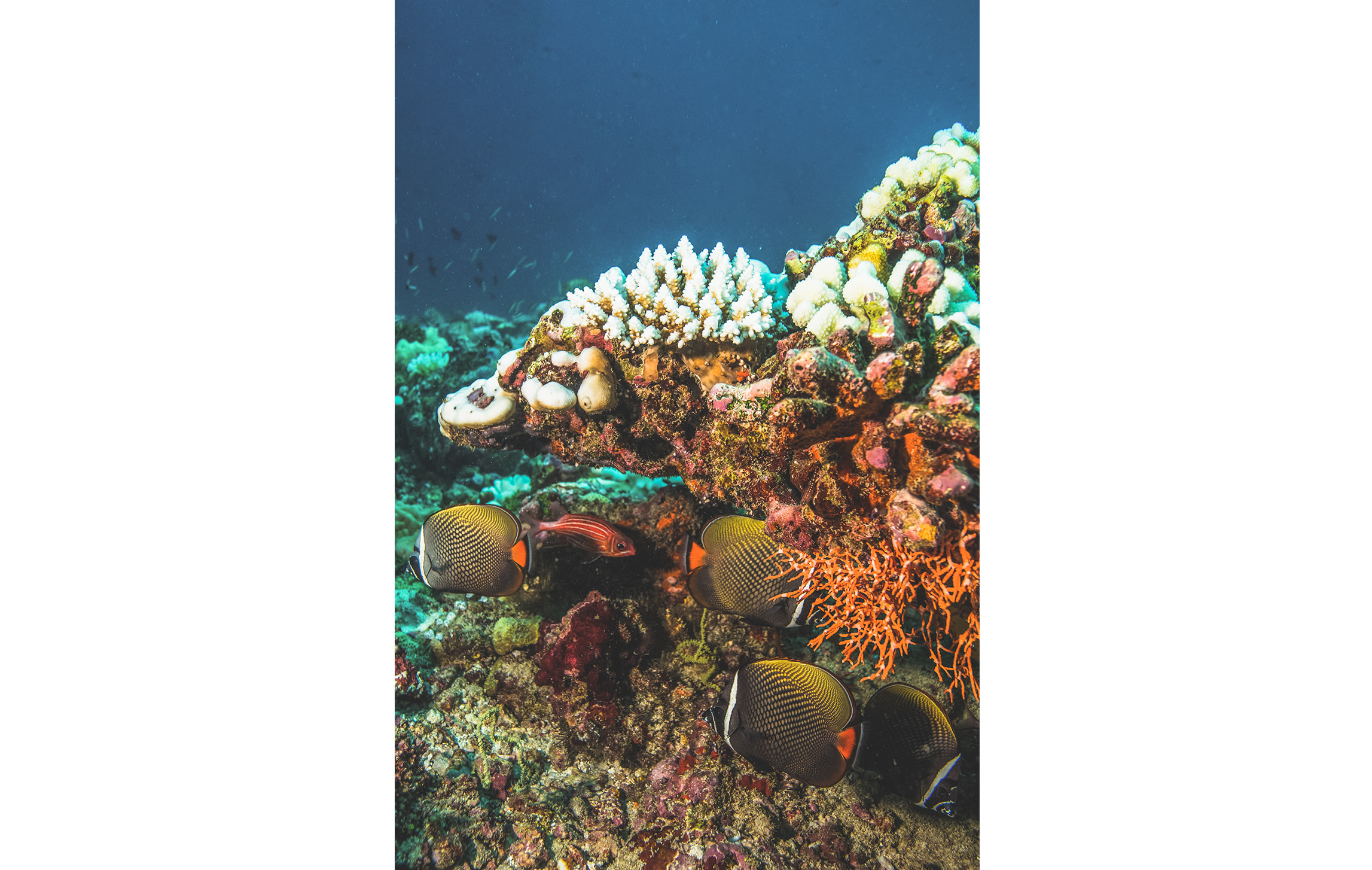 Coral reefs are magical wonderlands of colours and shapes. The fish they host are equally vibrant and dramatic. Coral is made up of thousands of tiny pin-head sized polyps, which is what these red-tailed butterfly fish feed on.