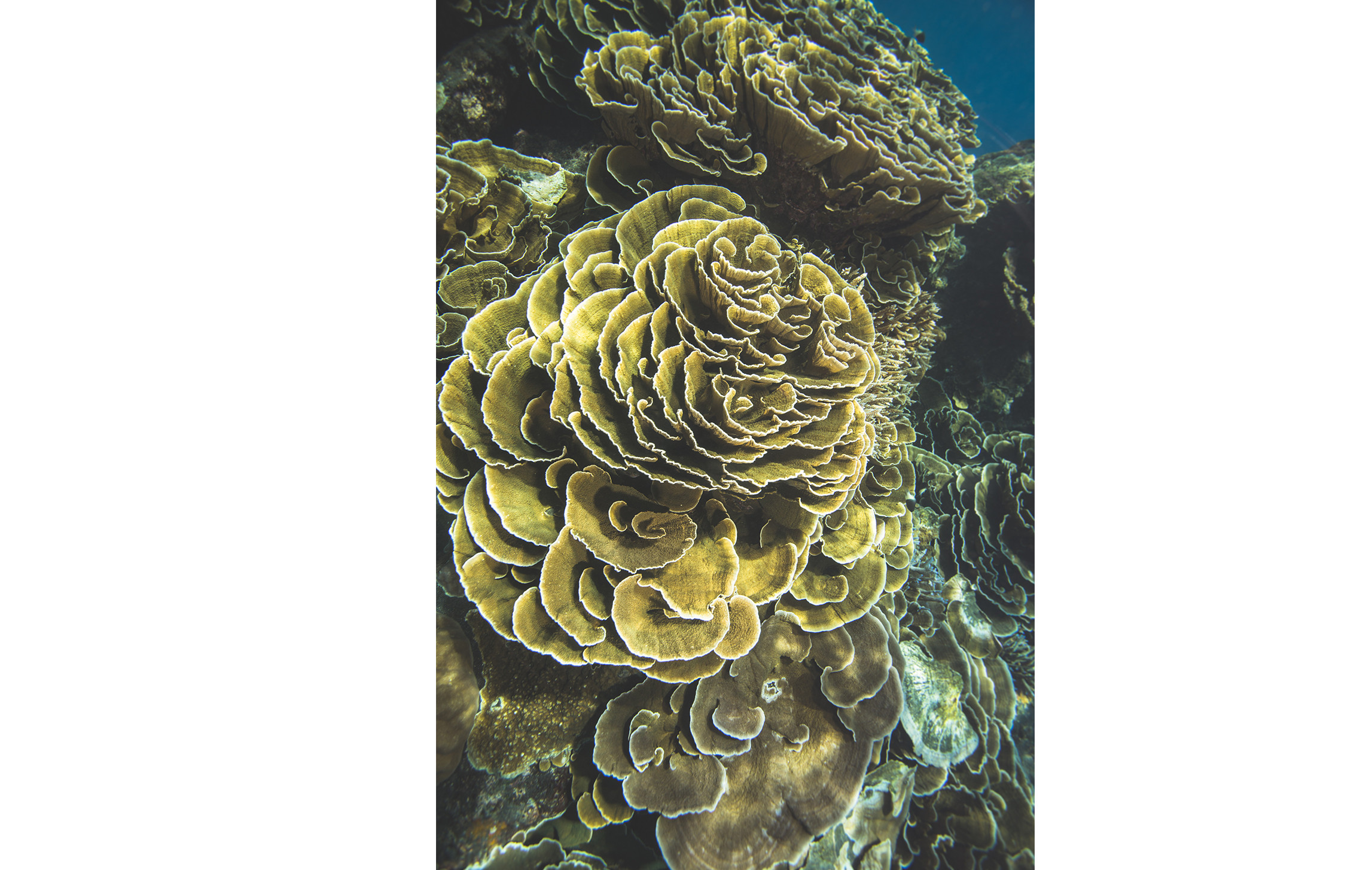 There are around 800 species of hard coral. When you see coral like the montipora, which itself has 85 different species, it's hard to remember that corals are not plants. They often look like shrubs, bushes, or trees.