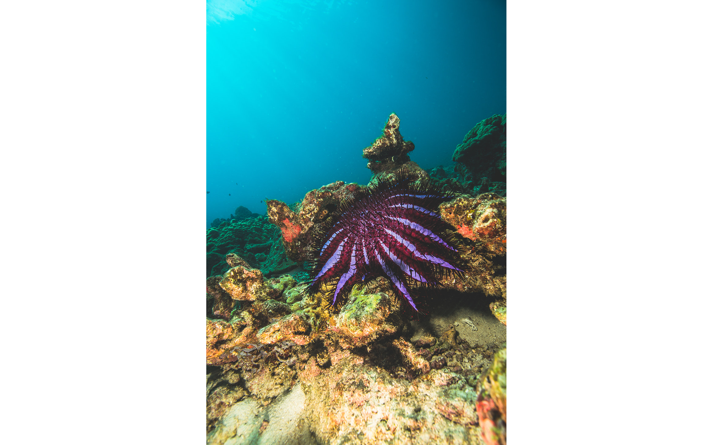 Vibrant and attractive, crown-of-thorn starfish balance and control the coral ecosystem when they exist in single digit numbers. When they multiply in a sudden bloom, these venomous predators are capable of decimating an entire reef in a short time.