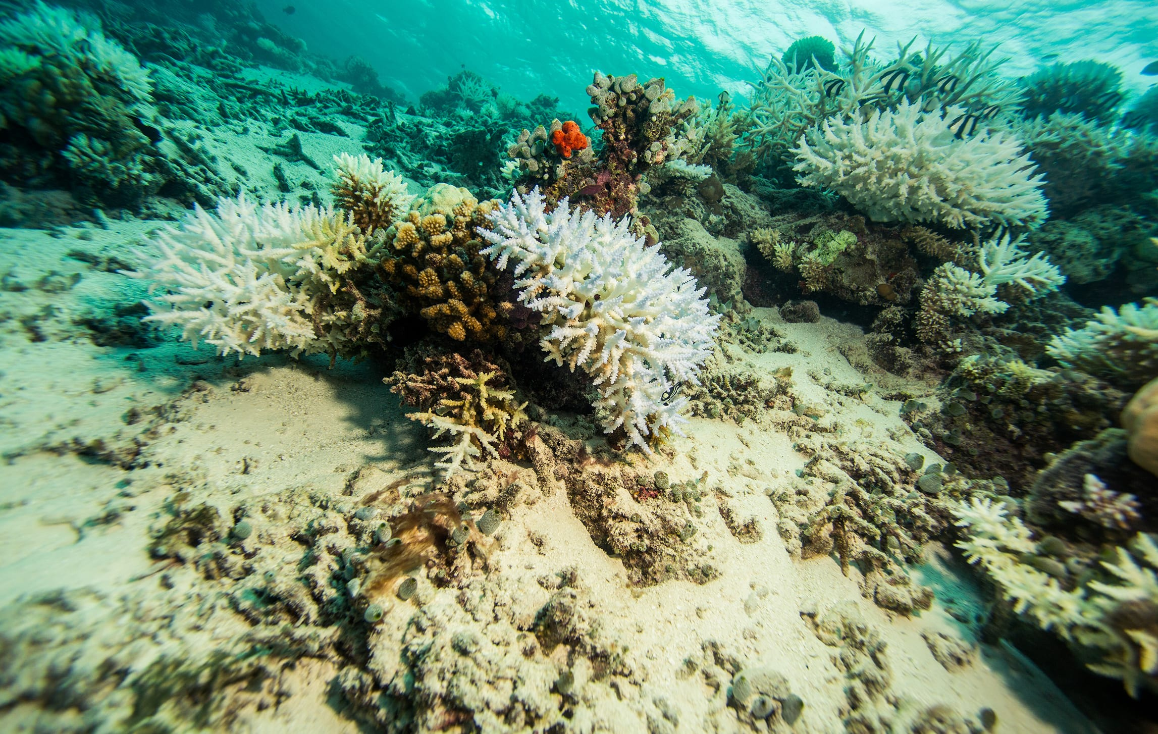 Numerous factors are threatening coral reefs around the world, from over-collection of sand and overfishing, to pollution and the exploitation of coral for wildlife trade. However, it is the effect of warming sea temperatures as a result of climate change that most threatens coral survival.