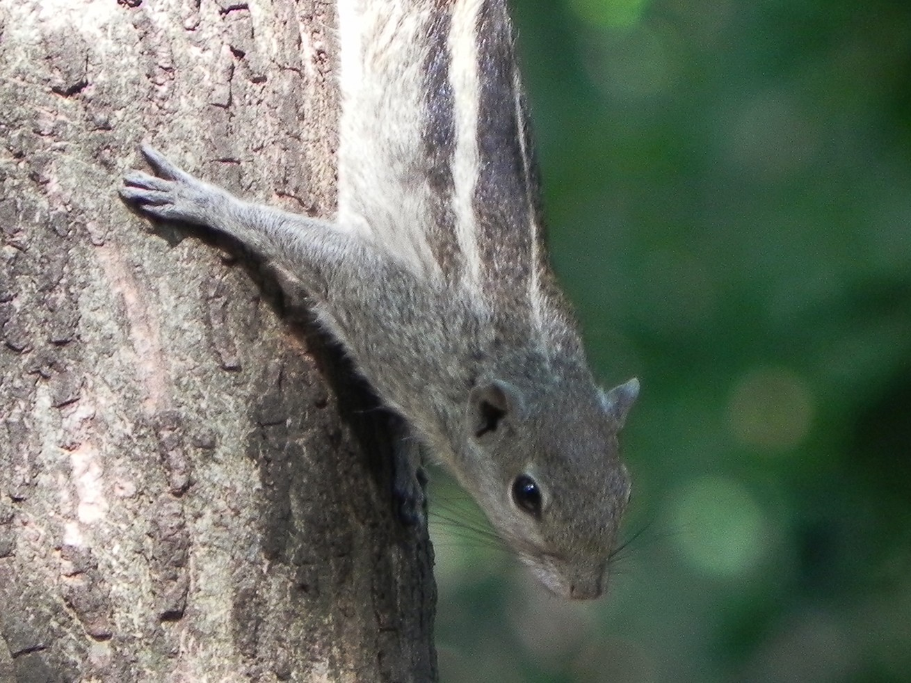 The three-striped palm squirrel is found across India and Sri Lanka.