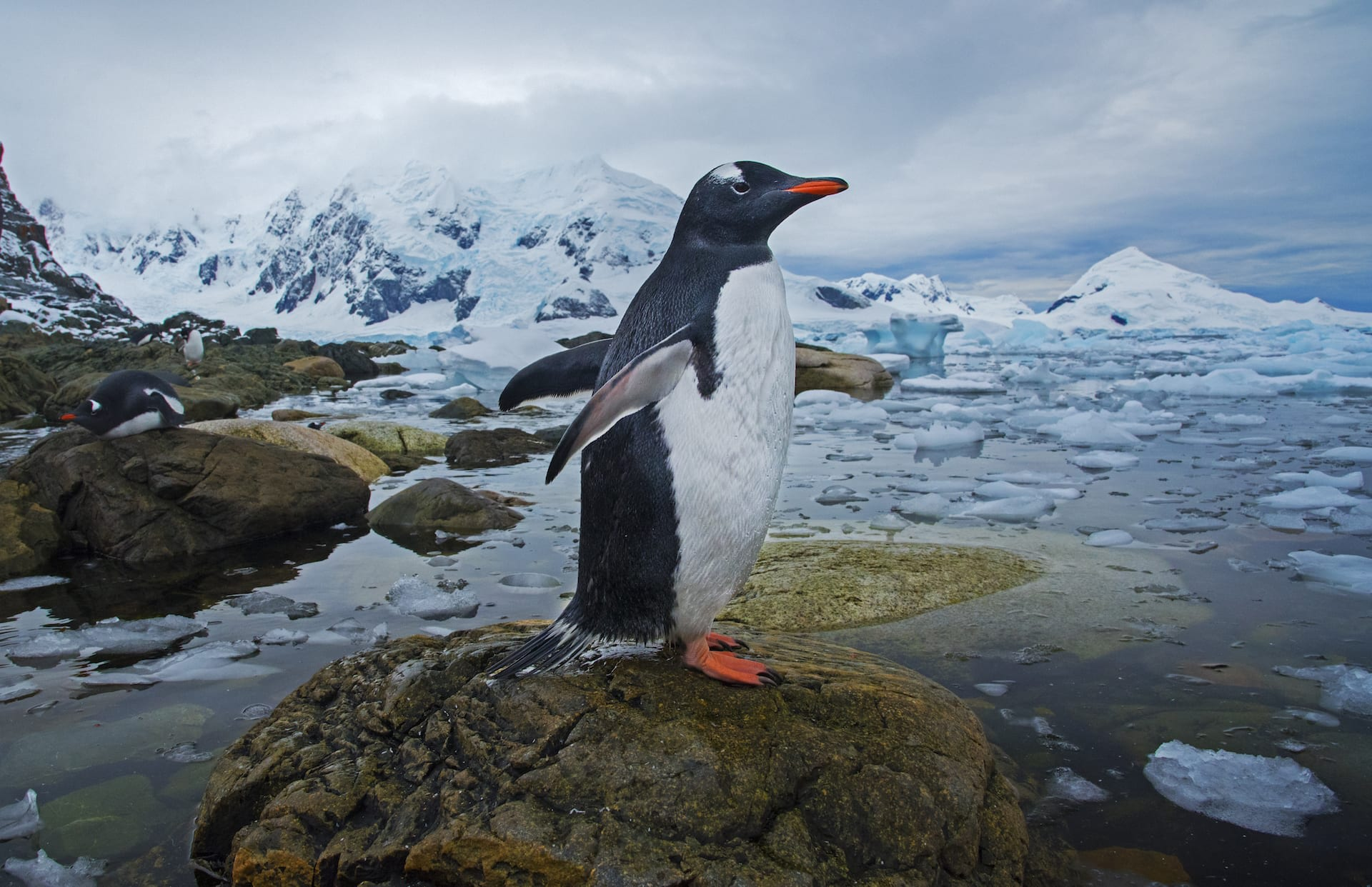 The gentoo penguins on the other hand, are quite small, and live in large colonies in the Antarctic Peninsula. Colony sizes vary from a few dozen members to groups that comprise thousands of gentoos. Both females and males are passionate parents and spend considerable time building nests out of moss, feathers, and stones for their eggs.