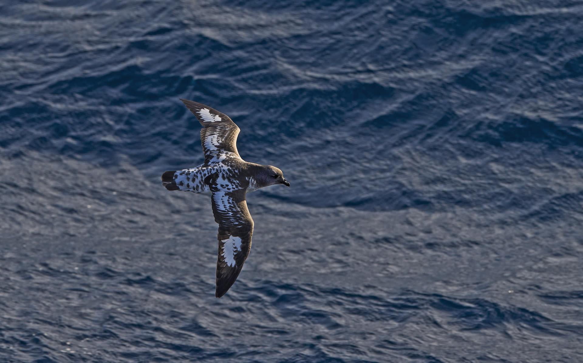 Sky birds are fewer in number, but more frequently sighted. Fulmers, albatross, and petrels (pictured here) are often seen following expedition ships, hoping for scraps. They all hunt for fish, but are opportunistic scavengers, known to help themselves to leftovers from orca kills.