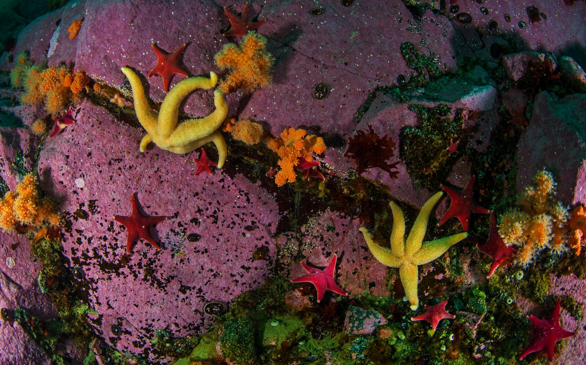 About ten metres below the surface, the landscape changes significantly. On vertical rock slopes and crevices between the rock, colourful marine life thrives amidst moss and kelp. The most abundant of these are starfish, anemones, and nudibranchs.