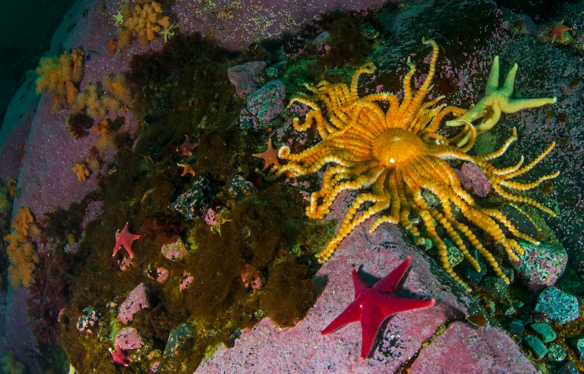 There are over 35 species of starfish in the oceans around Antarctica. The most striking of these, is the Labidiaster annulatus, which spans over two feet. Unlike most other sea stars that have five rays, the sunshine-yellow labidaster has over 50 spindly rays, which it uses to catch and consume small fish.