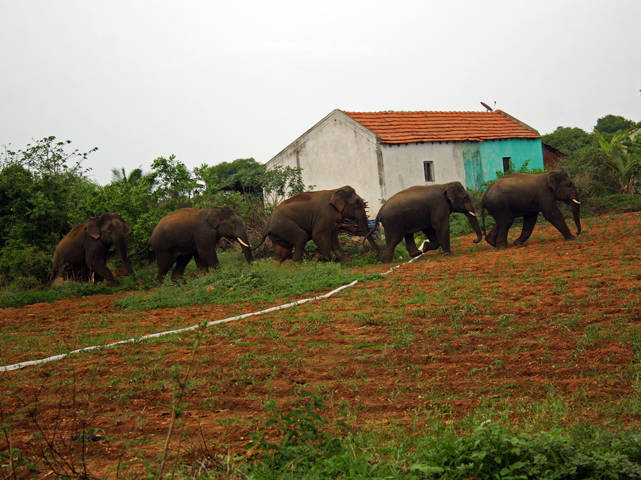 An all-male group of elephants nonchalantly moves through a farm. Photo: Vinod Moses