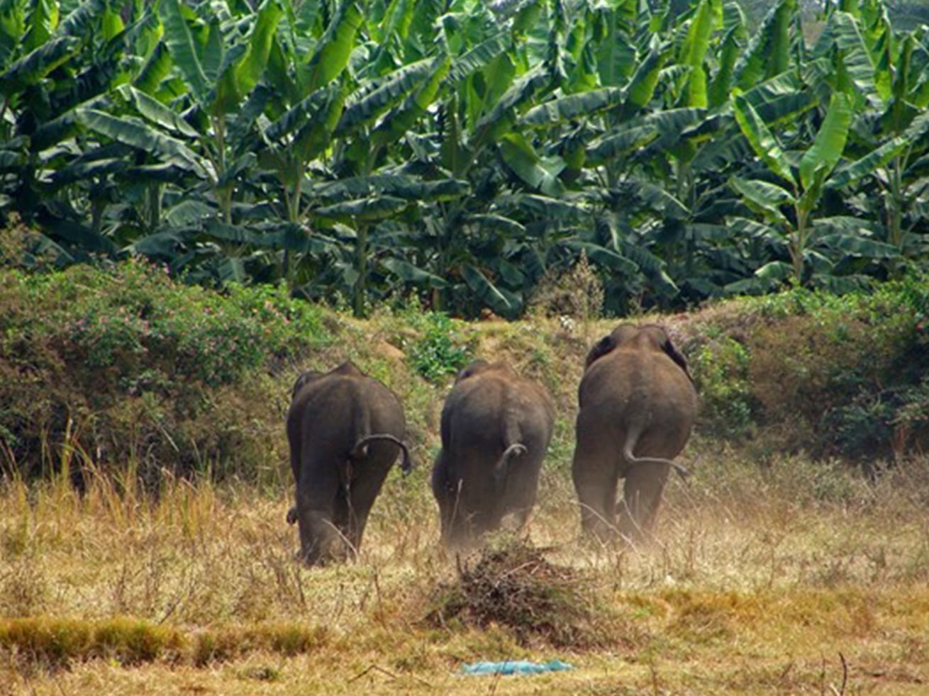 These elephants would love to break the barrier and raid this banana plantation. Photo: Nishant Srinivasaiah