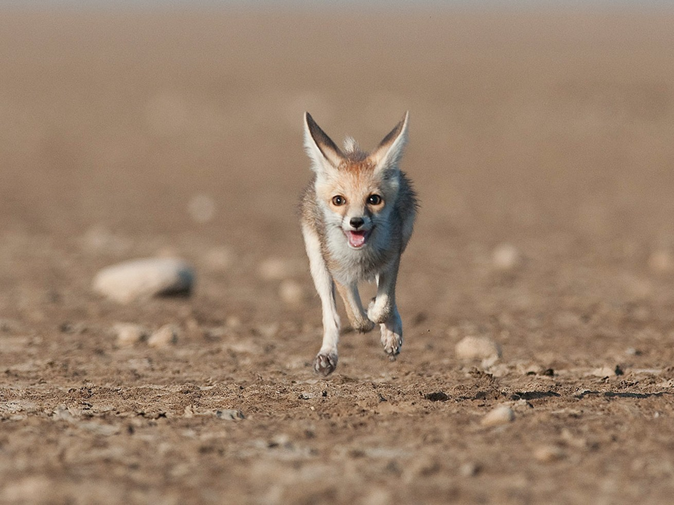 White-footed foxes are agile hunters, capable of running quite fast. They communicate using facial expressions, small sounds, and scent marking.