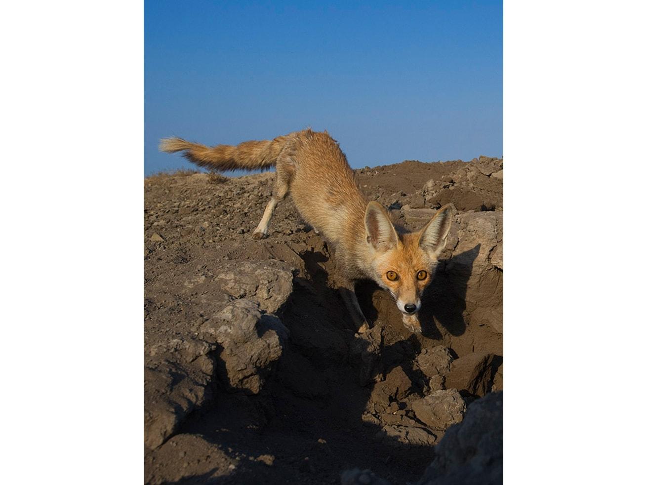 Desert foxes dig dens in the hard soil of desert scrubland, not in the sand.