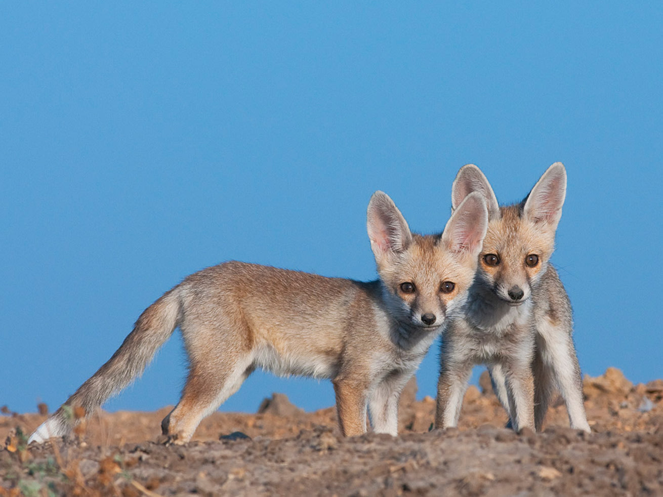 Well camouflaged in the desert, pups are both shy and curious, and will play around close to their den.