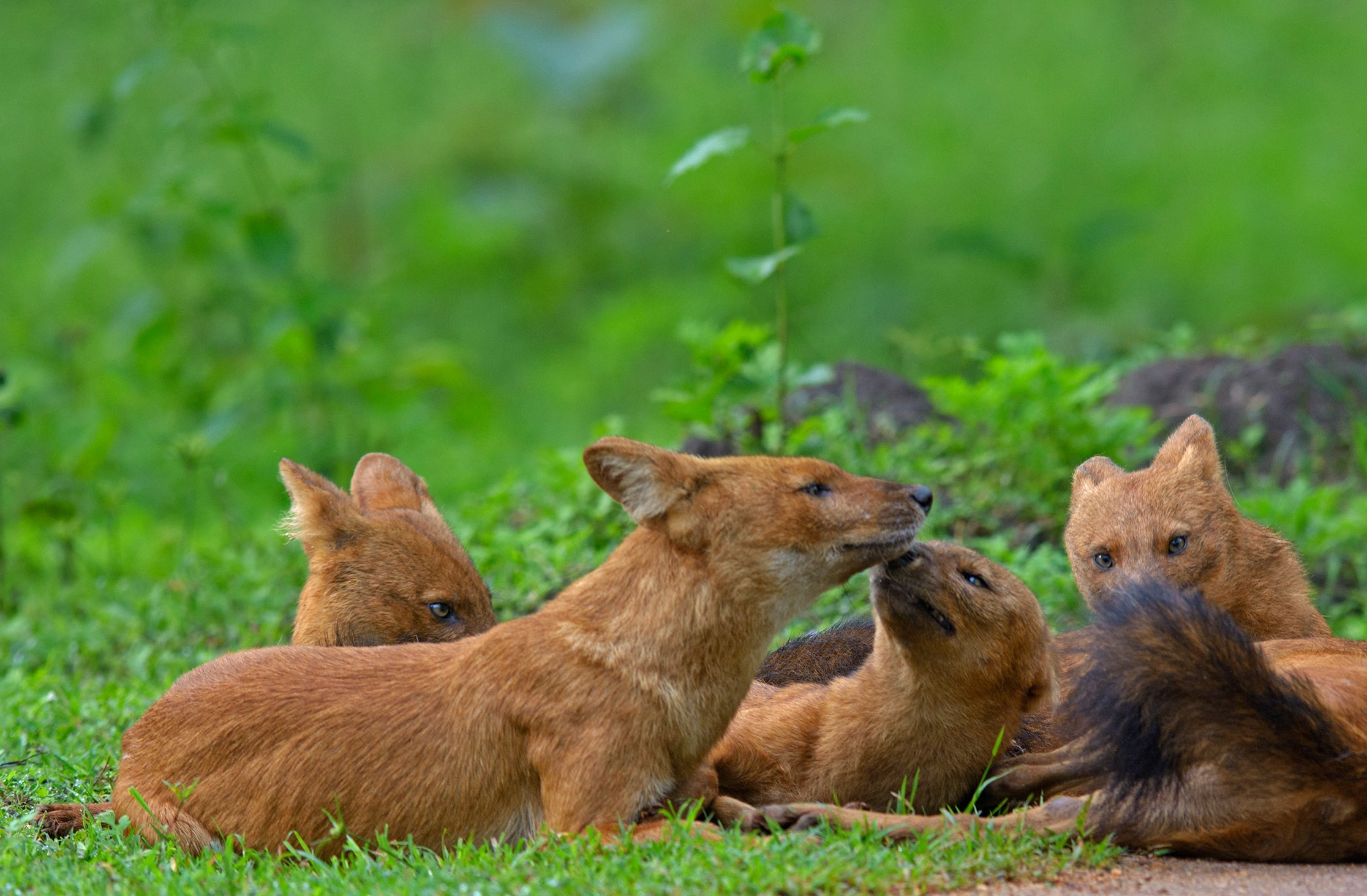 Many myths about the dhole's behaviour led to them being persecuted and their population has been decimated by humans.