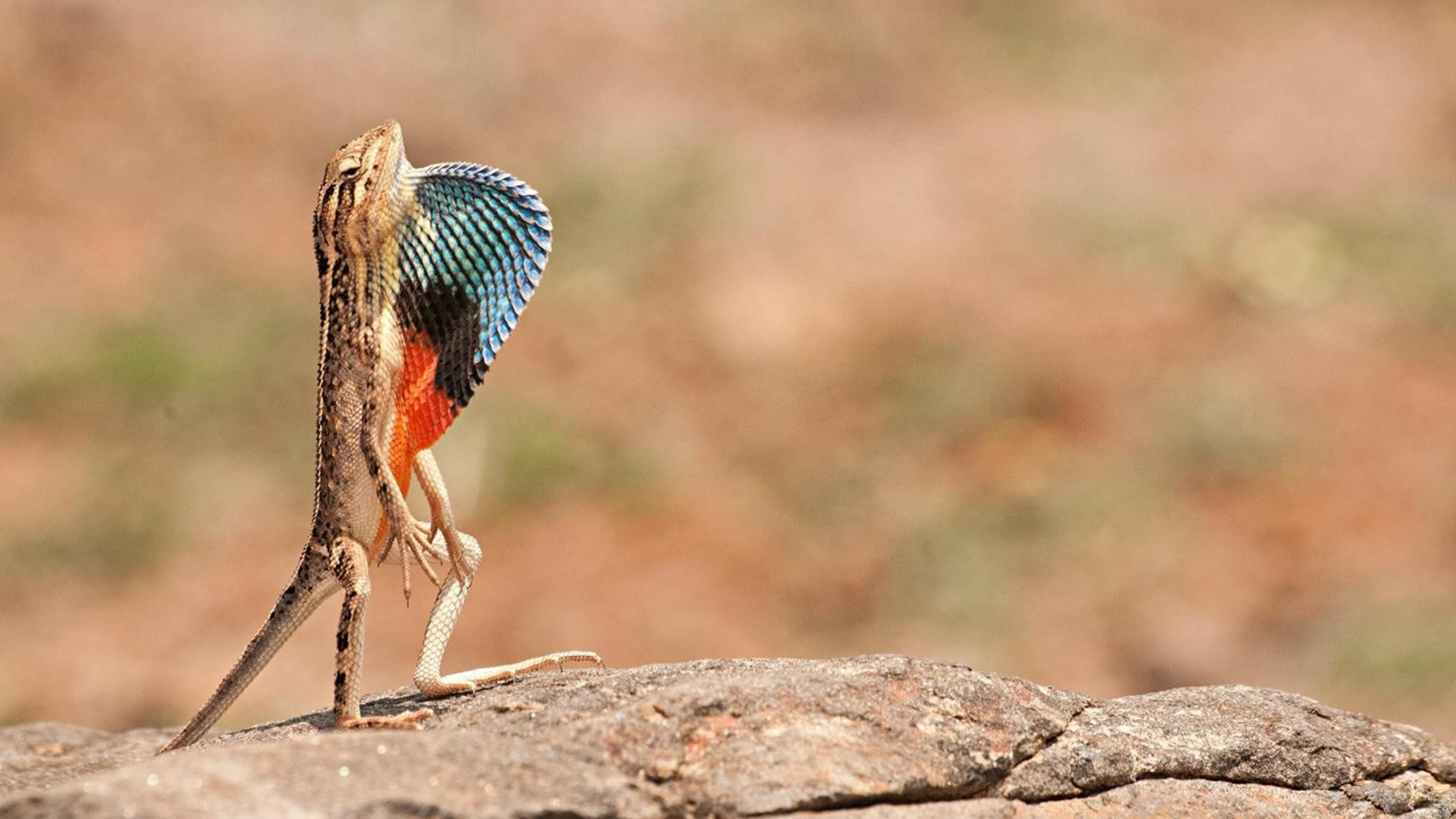 A Darwin's large fan-throated lizard stands atop a rocky outcrop with great fanfare, most likely to impress a female nearby.
