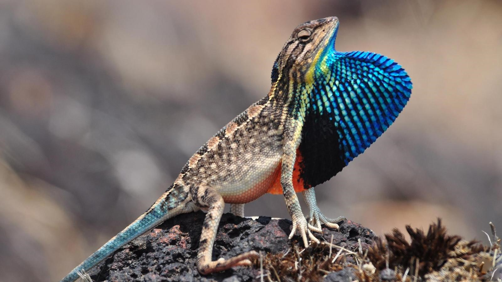 The recently discovered superb fan-throated lizard sports one of the largest dewlaps among all fan-throated lizards, seen here in all its iridescent glory.