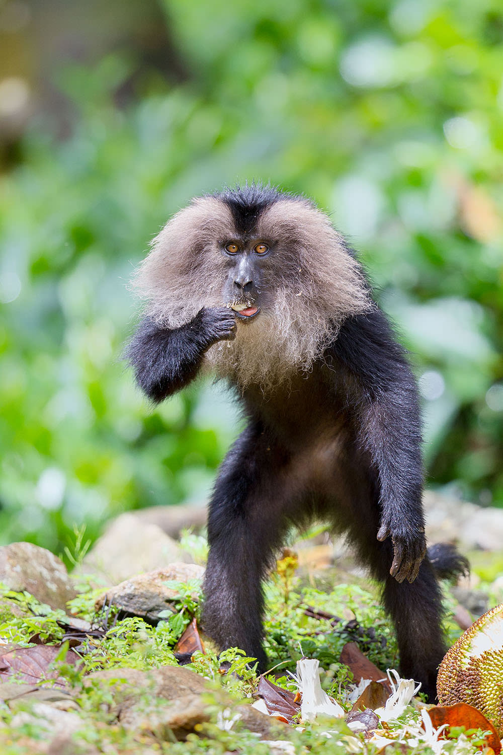 Among the smallest of the macaques, lion-tailed macaques reach an average height of 40-61 cm. Photo: Arindam Bhattacharya
