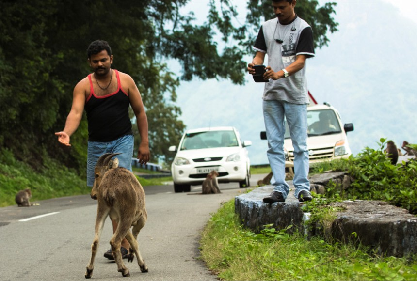 Cars frequently stop along Tamil Nadu's SH78 so their occupants can approach, feed, and take photographs of bonnet macaques and Nilgiri tahrs at close quarters. Photo: Keerthana Balaji