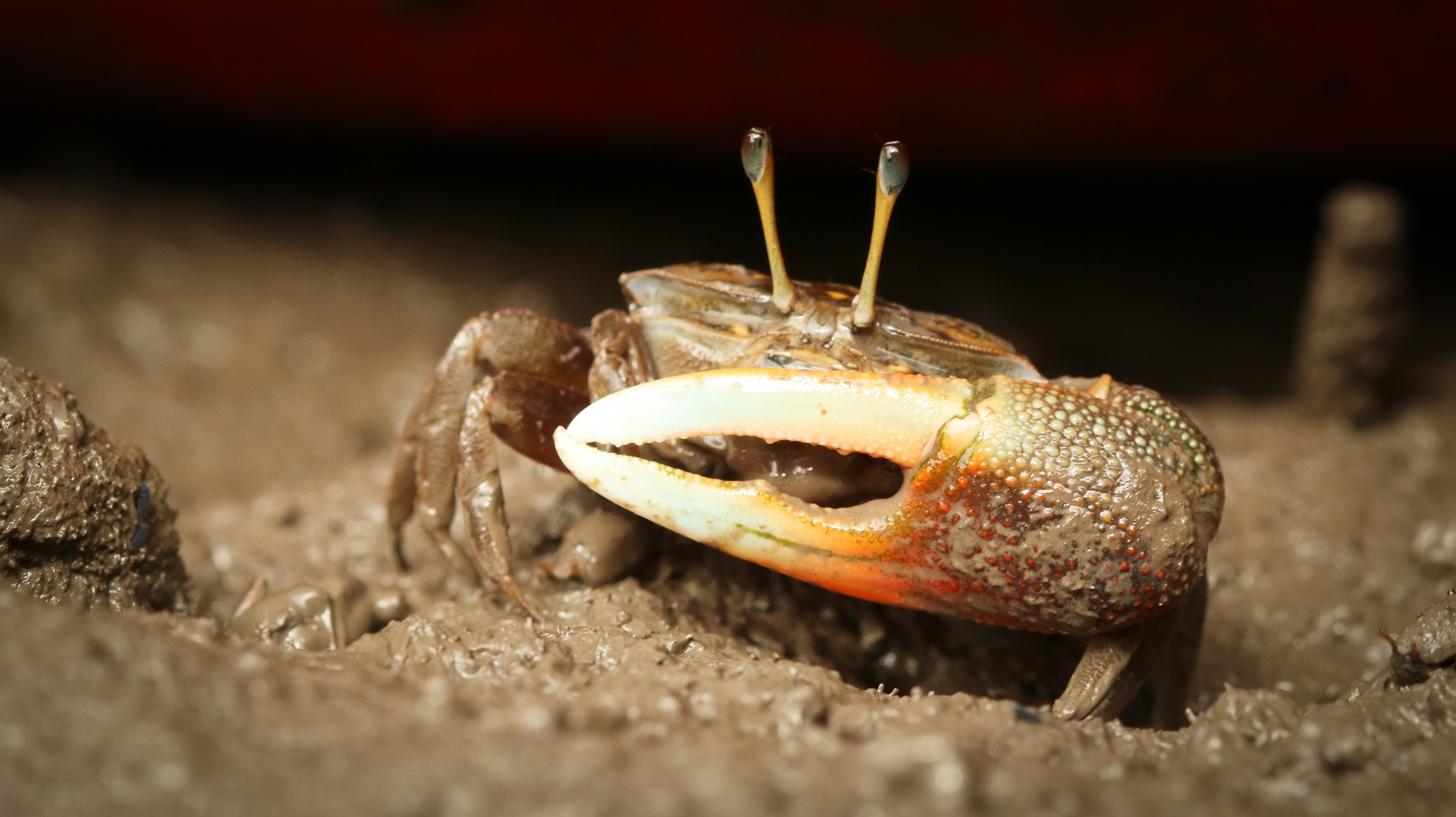 Fiddler crabs are usually 2-5 cm in size. They have five pairs of legs and a two claws; the large claw can be almost half its body weight. Photo: Abhishek Jamalabad