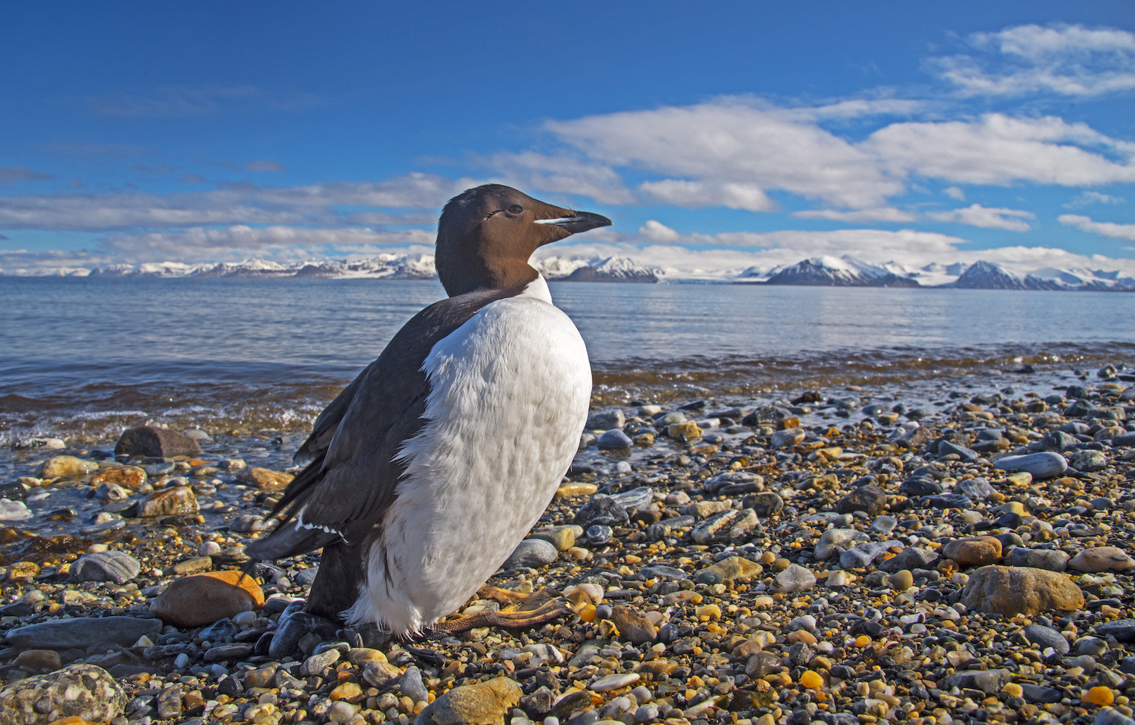 A number of seabirds in Svalbard, like the common guillemot, are migratory in nature. They arrive for the summer months and build nests in rocky cliffs and islands, where they breed and look after their young. Most species leave around September, when the polar night sets in. Photo: Dhritiman Mukherjee