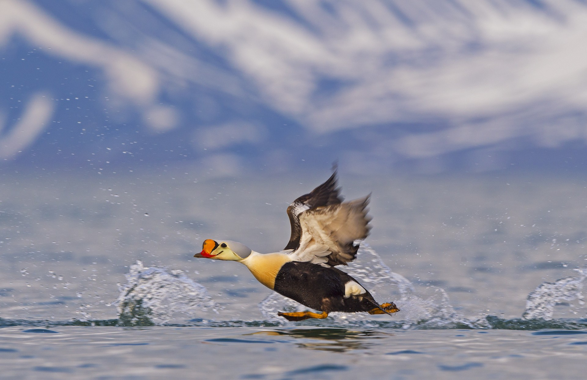 The king eider is much harder to spot, and one of the most coveted bird sightings in Svalbard. They spend most of their life at sea, except during breeding season when they nest near freshwater lakes and ponds. They are skilled swimmers and can dive to depths of 50 metres while feeding.  Photo: Dhritiman Mukherjee