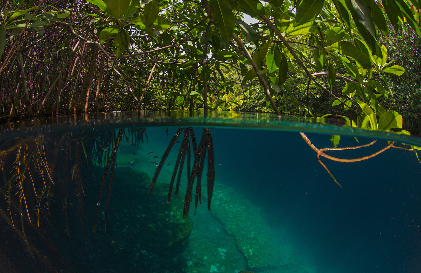 Surrounded by rhizophora, or true mangroves, whose web of roots can be seen deep in the water, the Casa Cenote is one of Mexico's most stunning sinkholes. Besides fantastic opportunities for snorkelling and scuba diving, visitors can go stand-up paddleboarding through the mangroves where they may come upon colourful birds and a variety of fish including barracudas and schools of tarpons. Lucky visitors could encounter a cormorant holding its breath as it dives underwater to catch its dinner.