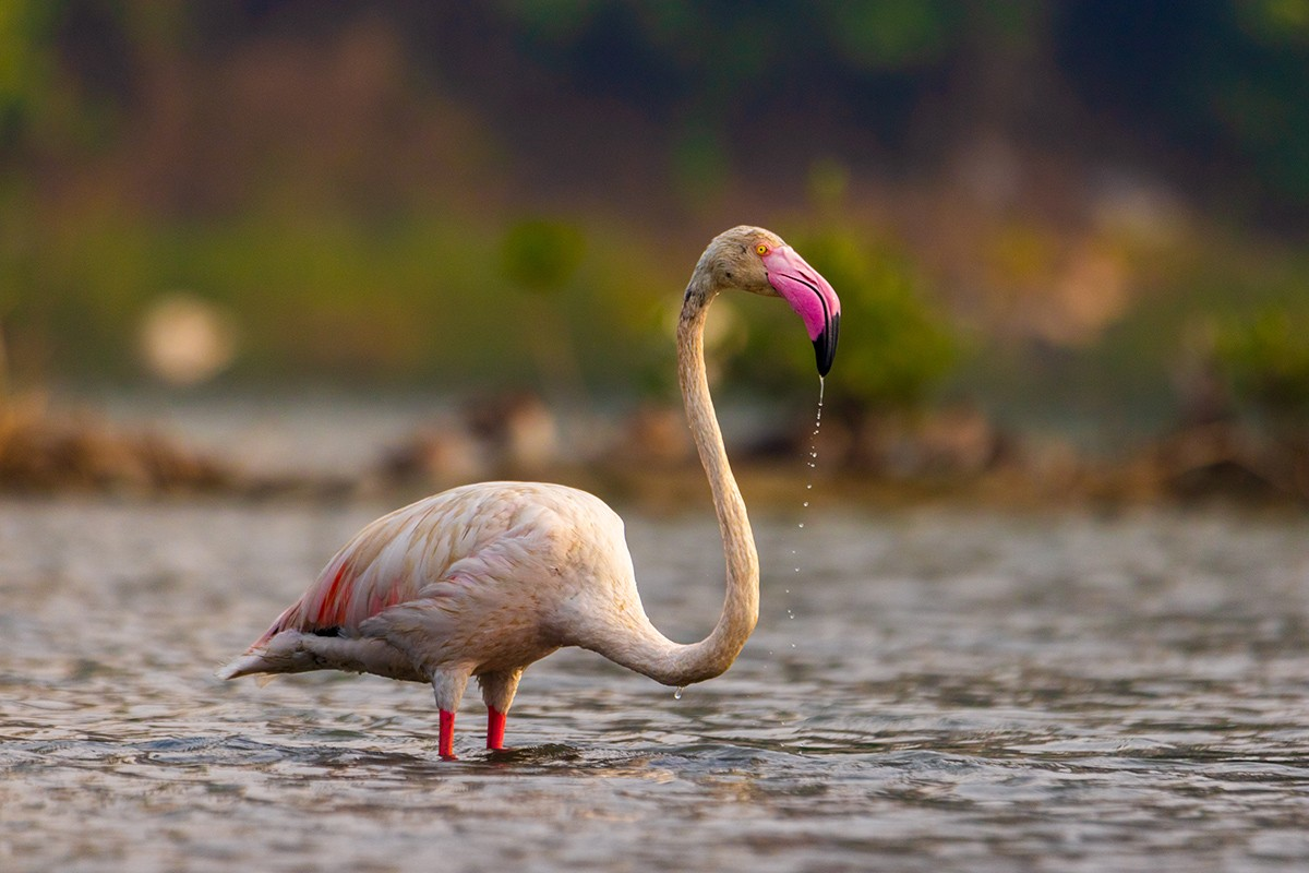Another way to distinguish lesser flamingos from greater flamingos is by looking at their beaks. A greater flamingo's beak is pink, tipped with black, while a lesser flamingo has a deep red bill, tipped with black.