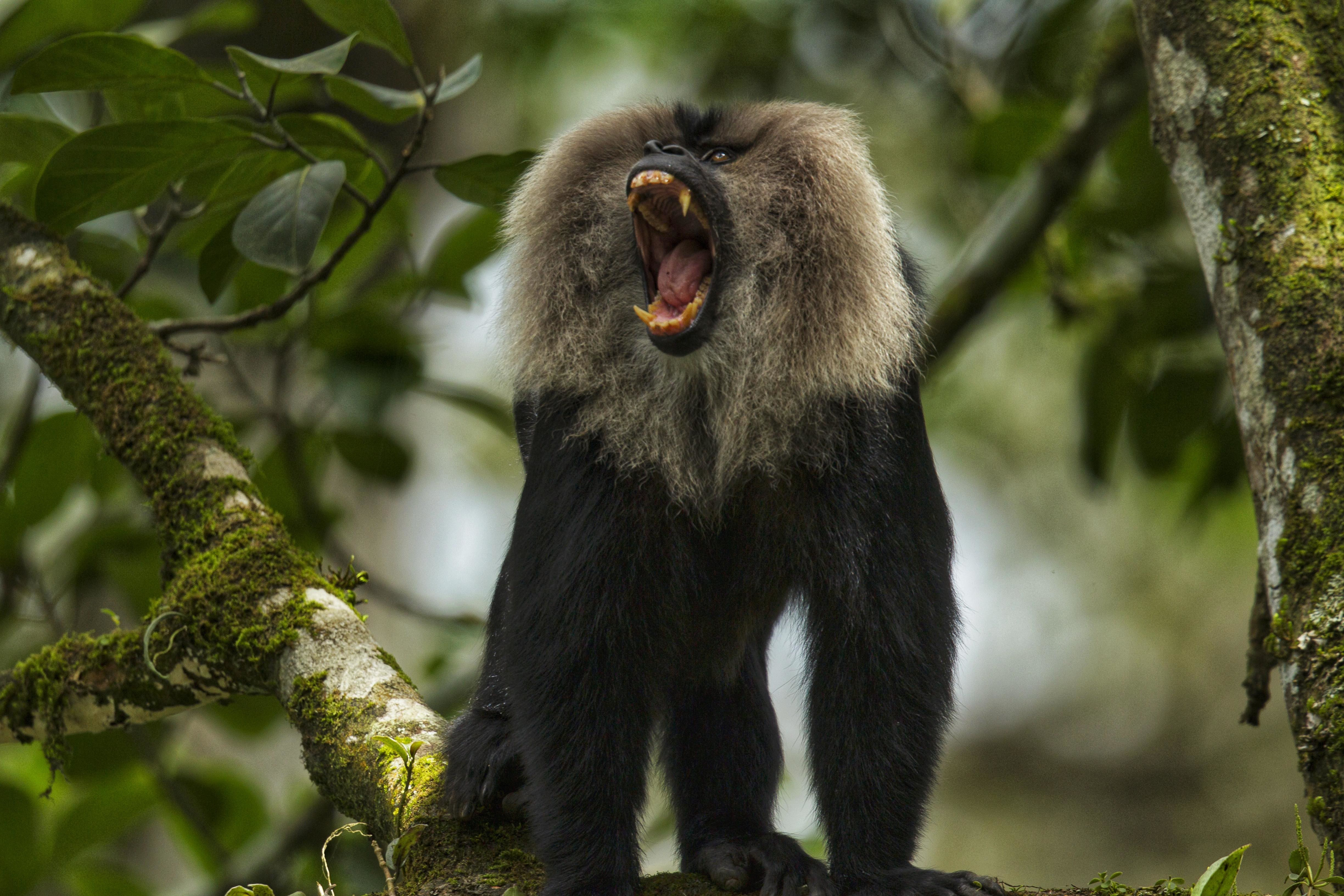 In the dense canopy in the Western Ghats, lion-tailed macaques use vocal sounds to communicate with each other. Scientists have noticed around 17 situation-specific sound patterns that the primates employ for various purposes. Photo: Keerthana Balaji