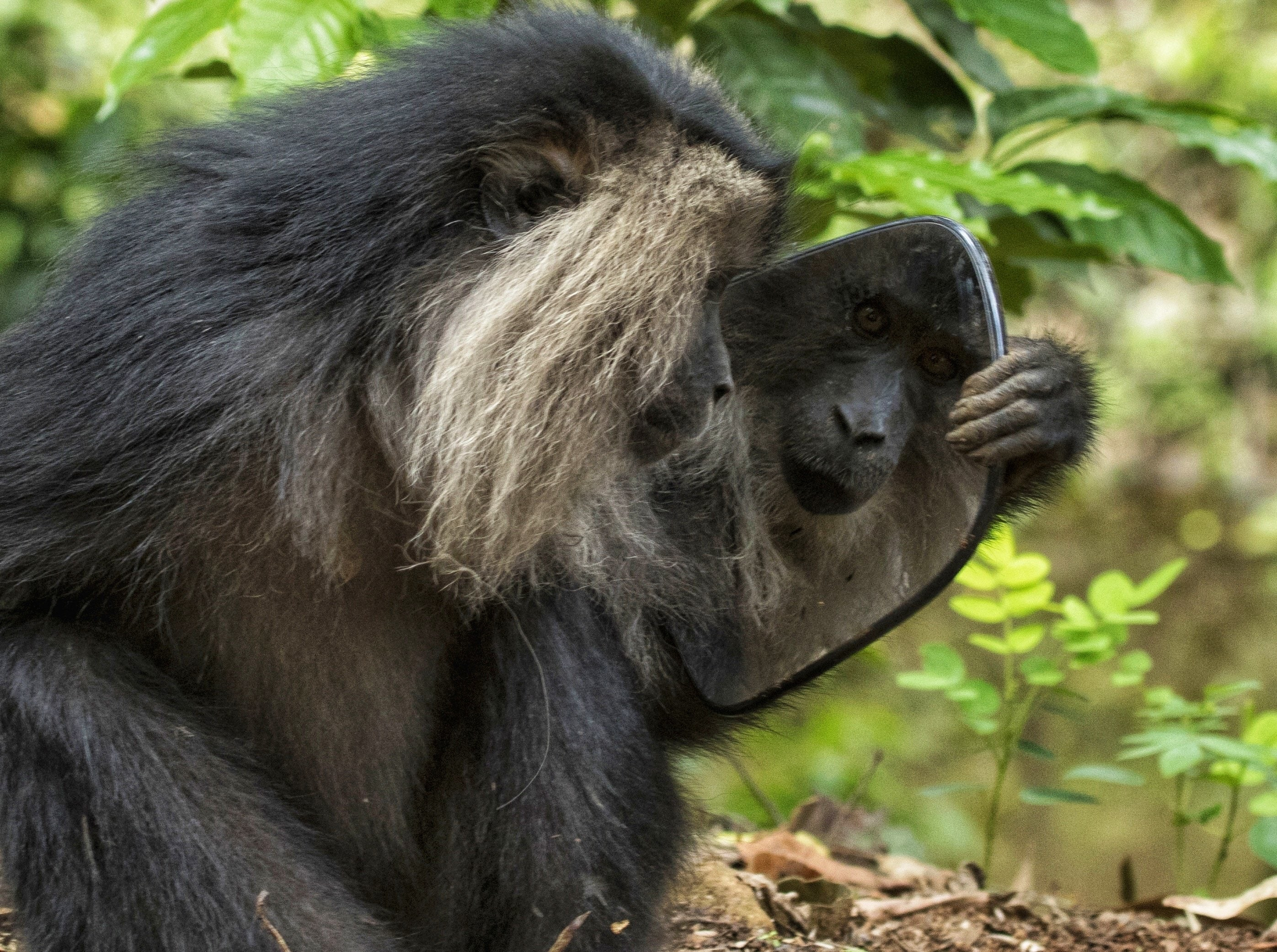 With the gradual loss of the tree canopy to live in and feed upon, these shy primates are forced to venture into areas inhabited by humans. But all is not lost. Thanks to conservation efforts, some of their forest habitat has been safeguarded, reducing human-animal conflict and increasing the population of the lion-tailed macaque to just under 4,000. Their strength is inextricably linked to the safety of the forest, and the diversity of the magnificent Western Ghats of India. Photo: Pravin Shanmughanandam