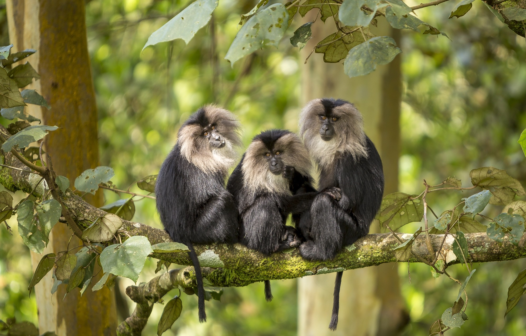 The lion-tailed macaque served as the face of the 'Save Silent Valley' movement in 1973, when a hydro-electric project across the Kunthipuzha River threatened to submerge vast swathes of virgin rainforest. Photo: Anuroop Krishnan