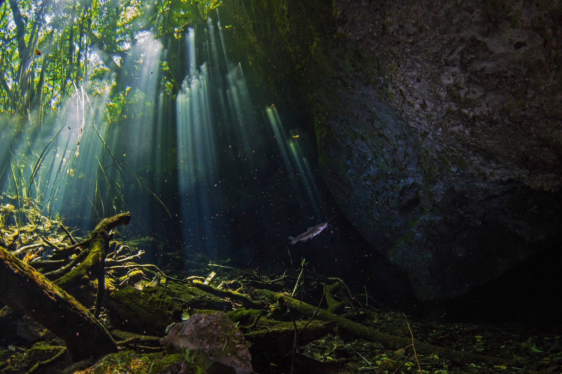 At the Taj Mahal cenote, beams of sunlight shine through the crystal clear water, revealing fish and organic debris. Divers can also see plenty of fossil shells, stalactites, and stalagmites. Under the first layer of fresh water is a halocline layer, under which is a layer of saltwater.