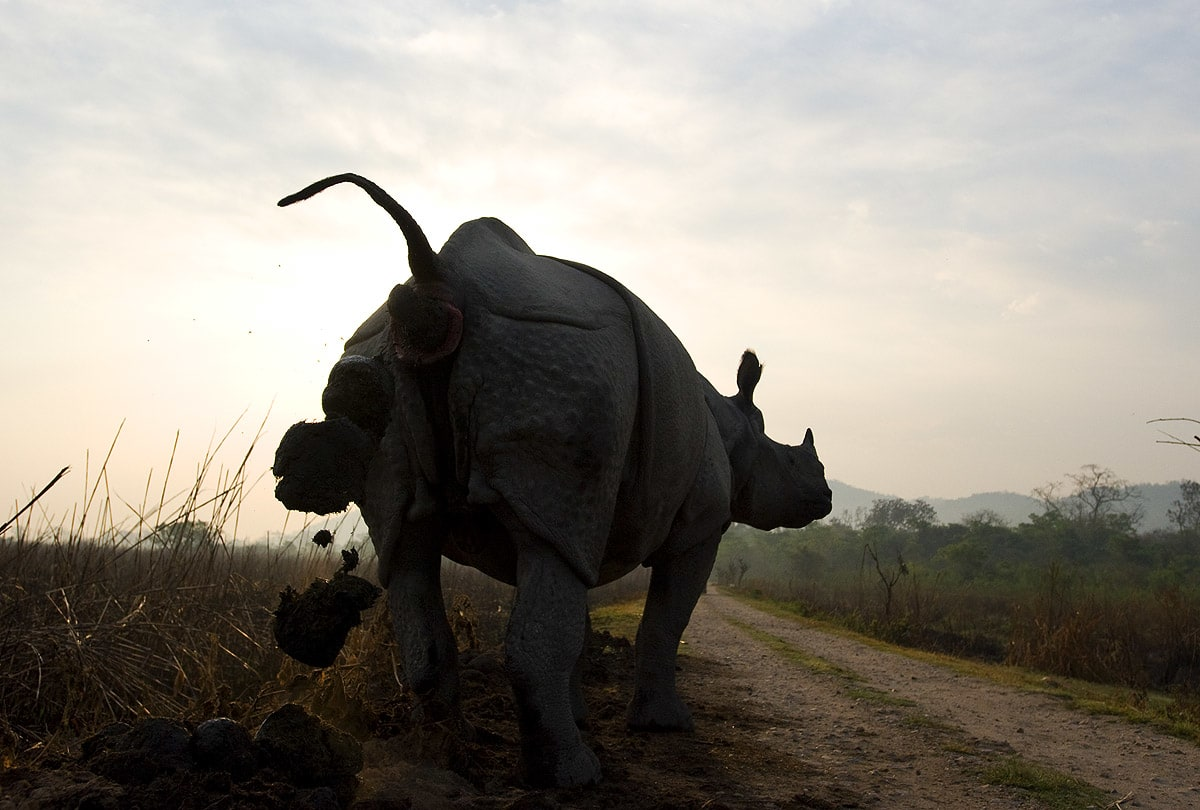 A greater one-horned rhino can leave behind 25 kg of dung in a single defecation. The dung piles they create around the forest not only spread a wide variety of seeds across the landscape, but also fertilise and nurture 20 different types of trees and shrubs. 