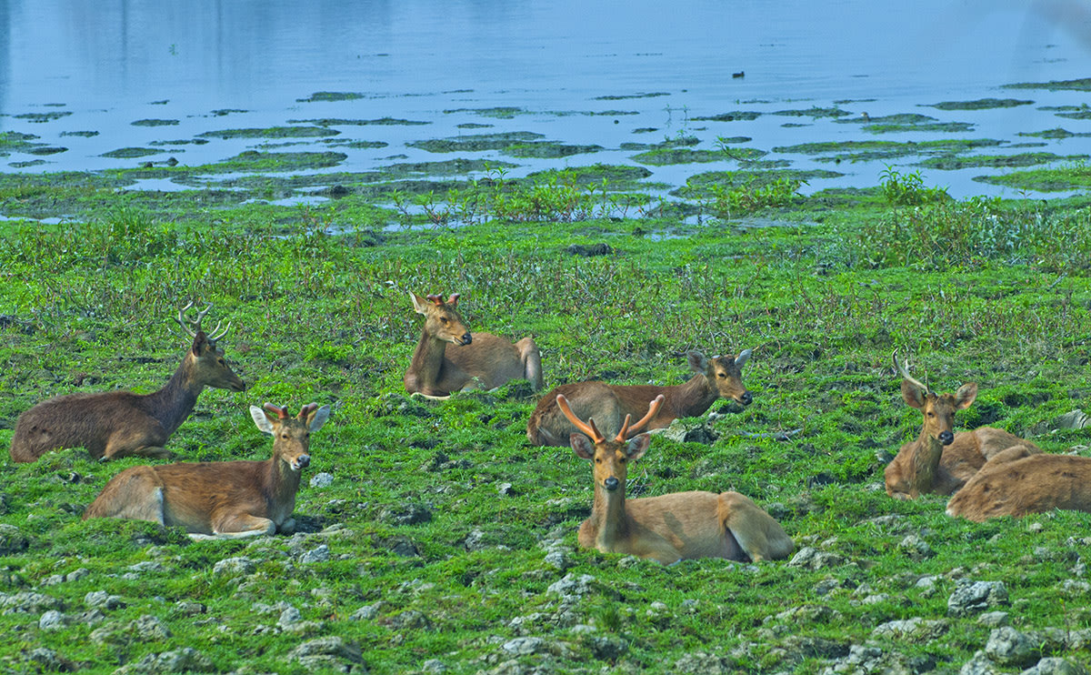 As the name suggests, the eastern swamp deer spends long hours in and around the swamps of the national park, feeding on aquatic plants or resting in herds. Photo: Dhritiman Mukherjee