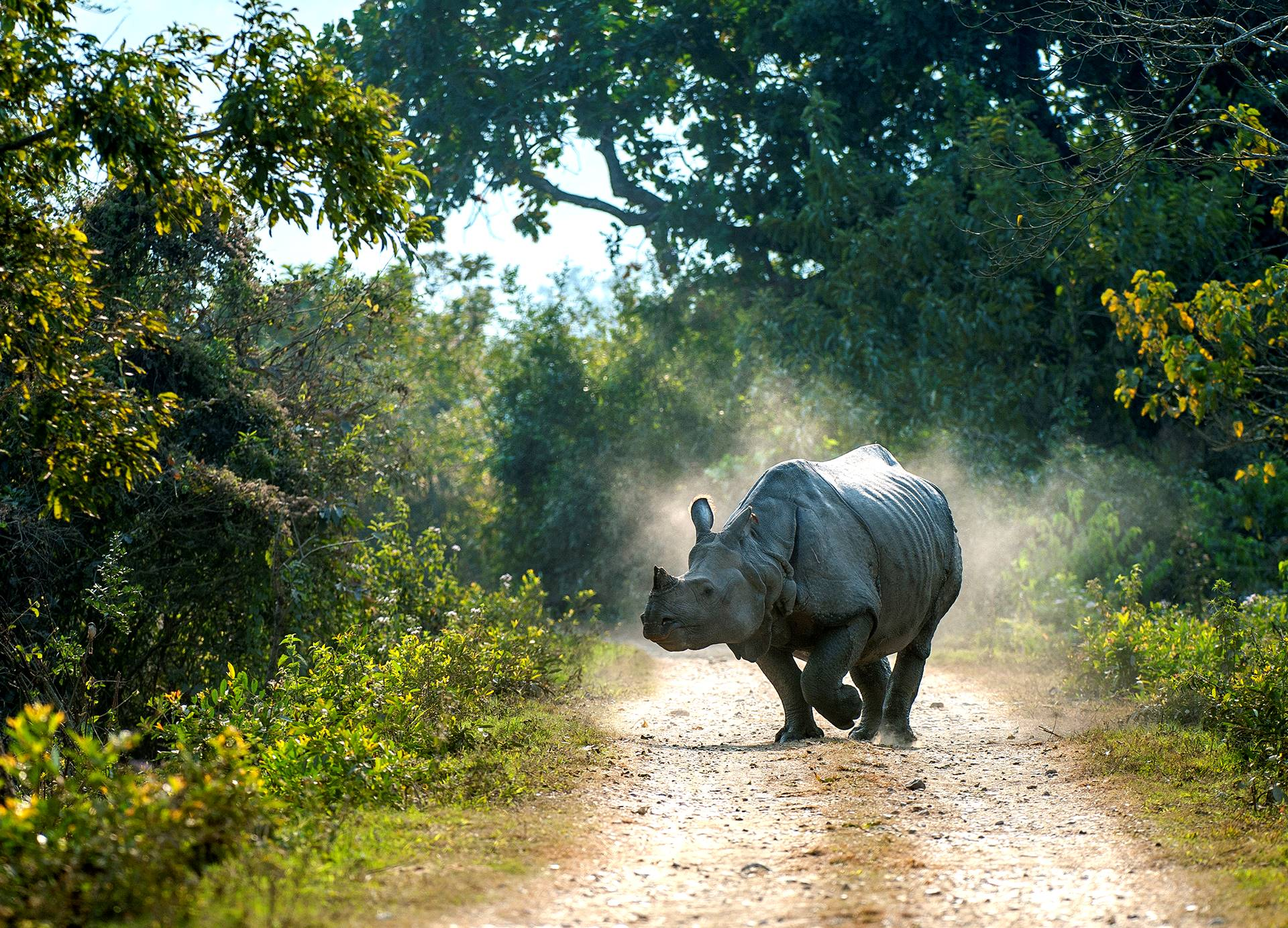 The greater one-horned rhino is a creature of habit. It walks the same paths, marking territory with its urine and dung. Unfortunately, its predictability also makes it an easy target for poachers.  