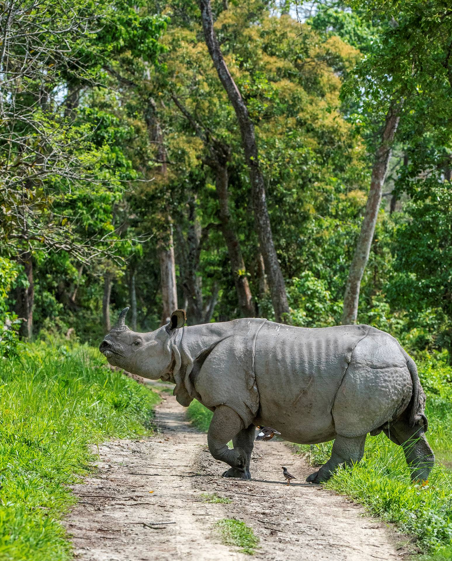 The world's largest population of the greater one-horned rhino can be found in Kaziranga National Park. According to the 2018 census, 2,413 rhinos live in the park. Photo: Udayan Borthakur