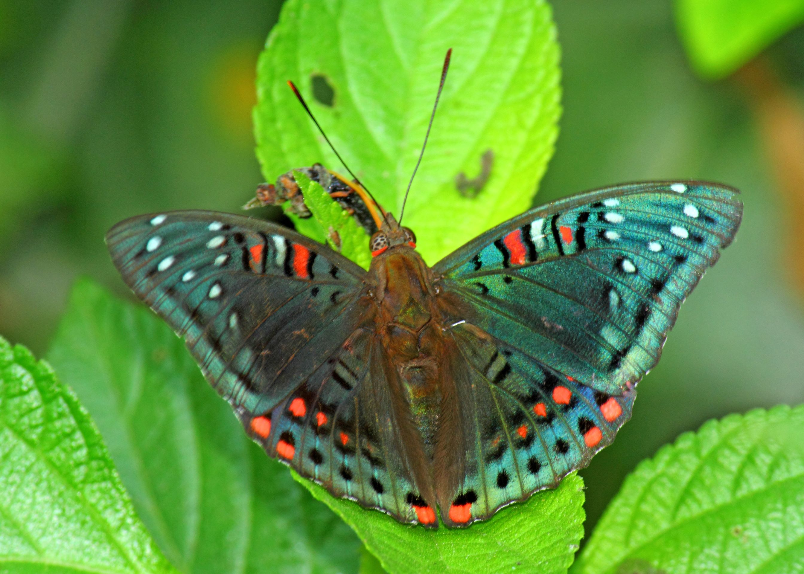 The gaudy baron is at its most brilliant when it is sitting on a leaf, basking with its wings open. Sayan Sanyal — CC BY-SA 4.0