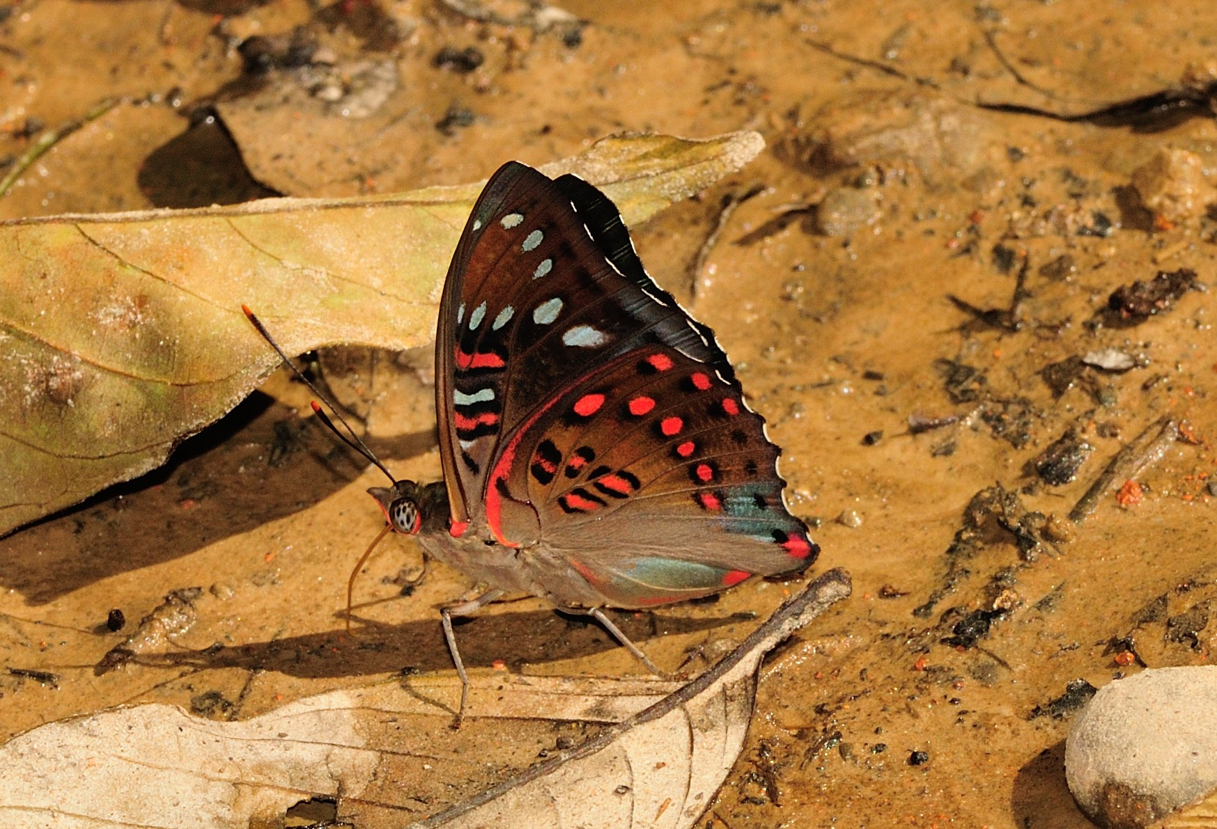 A gaudy baron mud-puddling, i.e.  getting the nutrients it requires from a wet patch of soil. Males normally gather salts and pass them to females while mating. Photo: Sanjay Sondhi