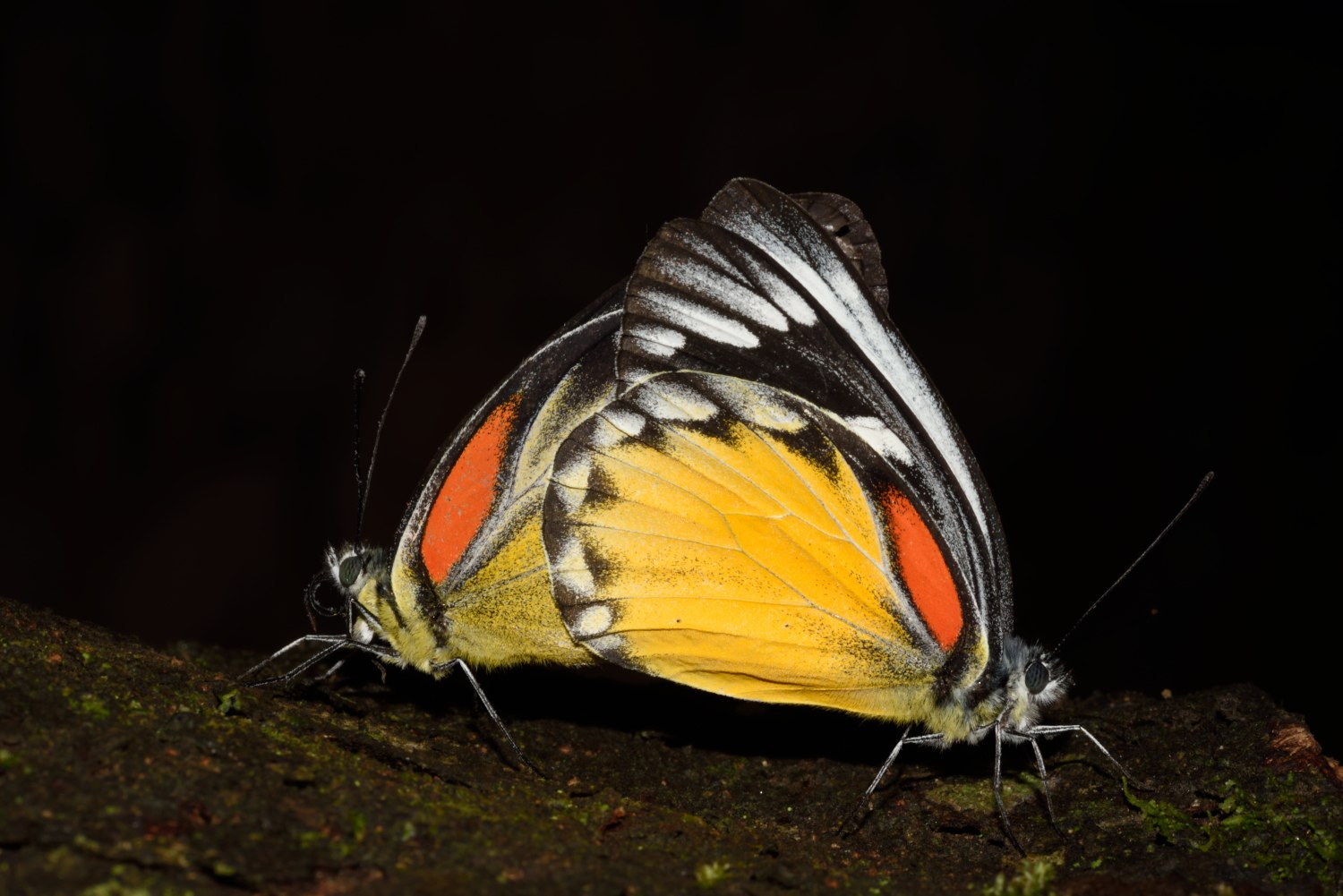 The red-spot jezebel belongs to a group of butterflies known as whites and yellows, and gets its name from the large red tint on the underside of its hindwing. Photo: Sanjay Sondhi