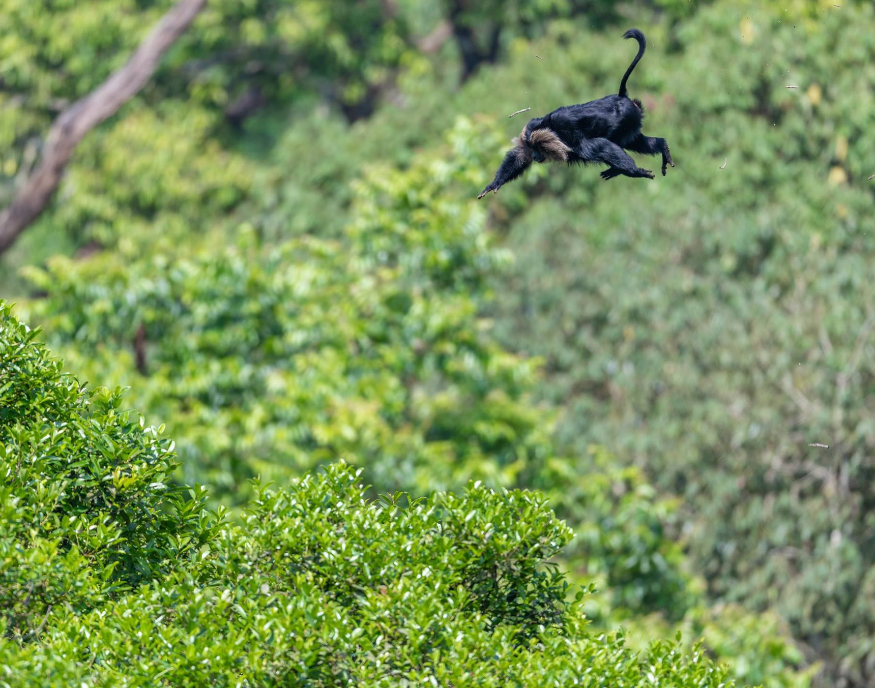 Lion-tailed macaques are skilled climbers and can cover a large distance in a single leap. This lion-tailed macaque was caught mid-air in Nelliyampathy, Kerala, which has one of the largest populations of lion-tailed macaques in the country. Photo: Amal George