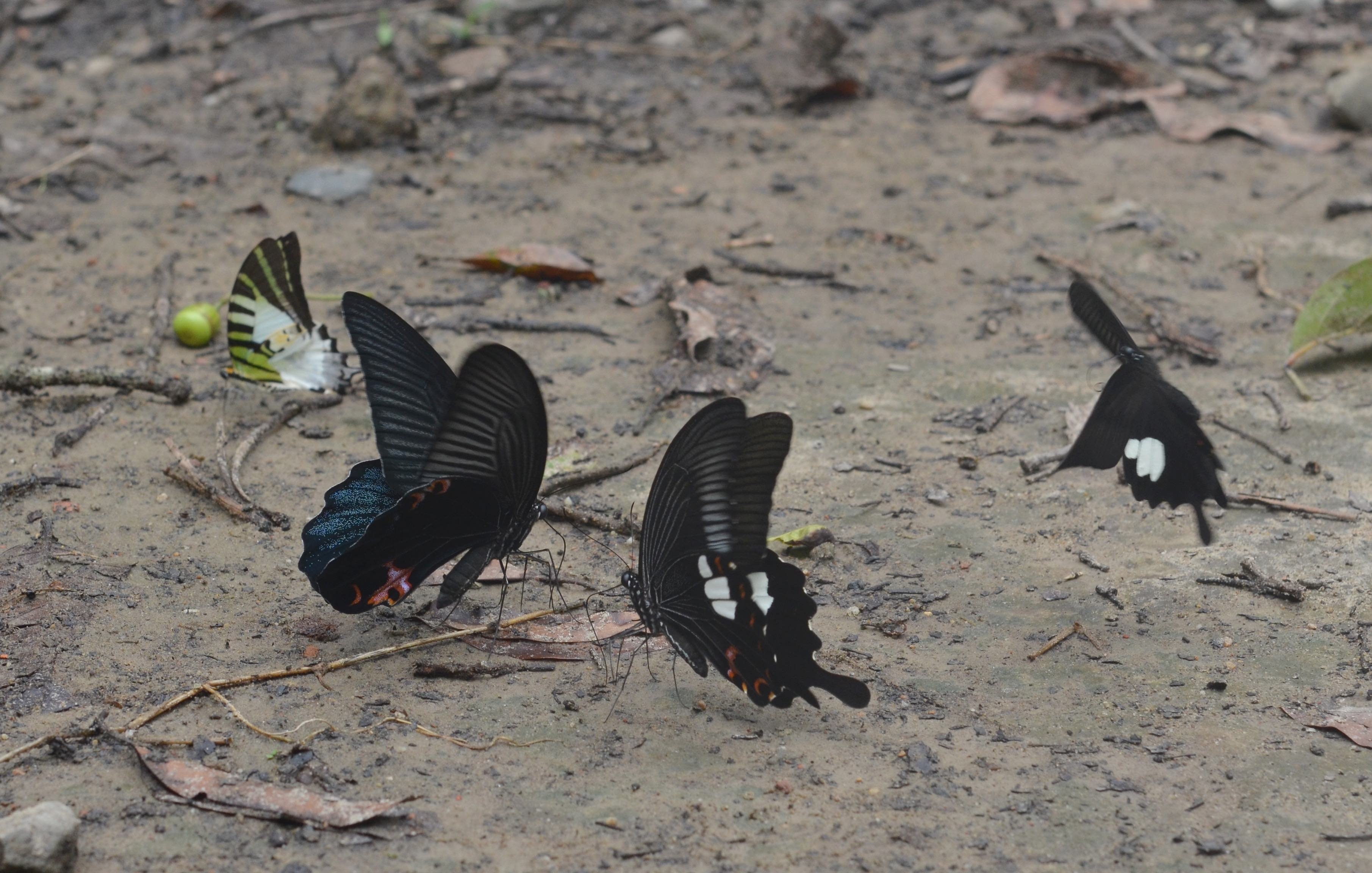 A forest's many secrets, such as these common mormon butterflies, are revealed as one walks through it, which is the only way to explore this sanctuary. Photo: Mitali Baruah  - CC BY-SA 4.0