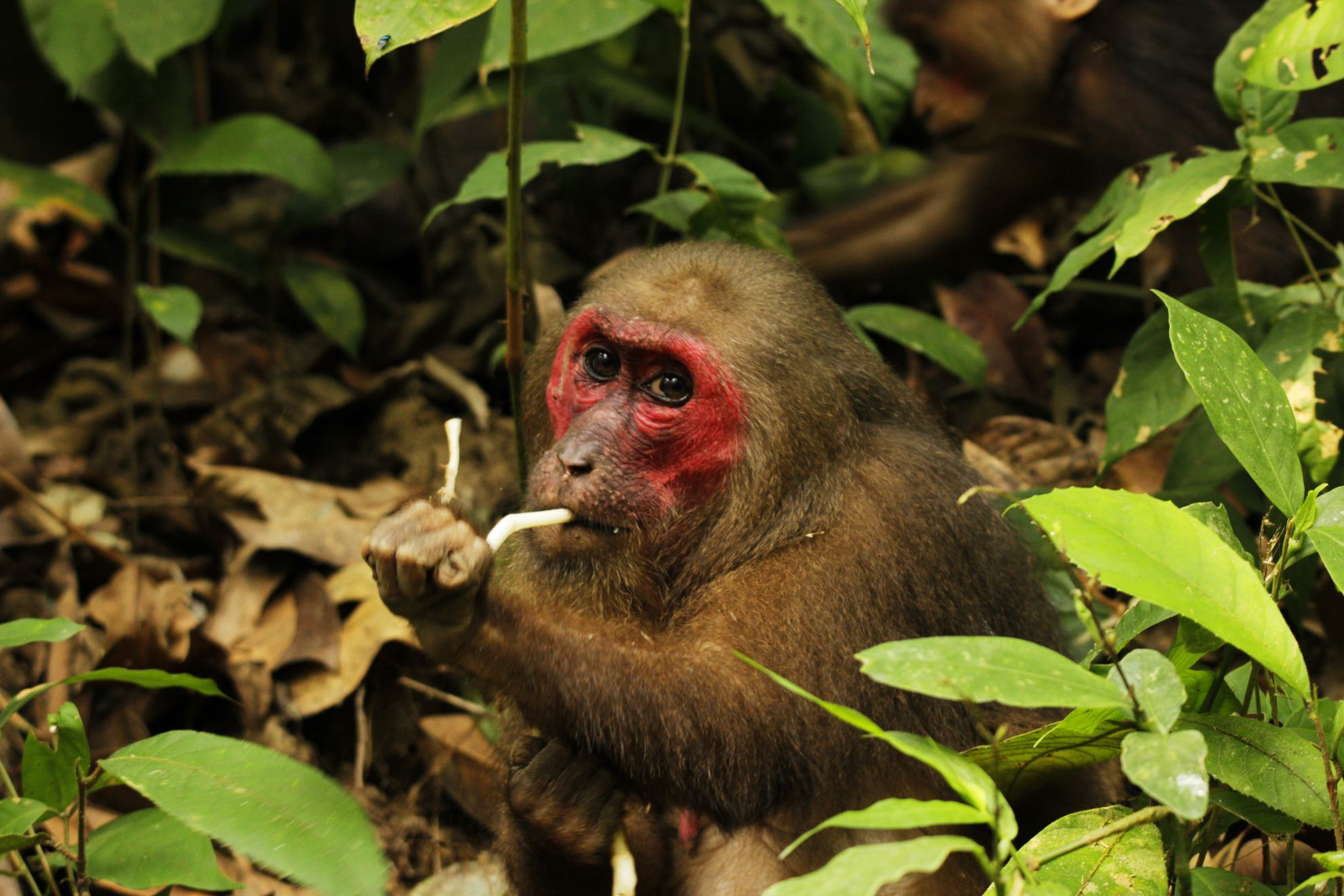 Stump-tailed macaques start foraging for food at the crack of dawn, and spend all day, traveling and eating. They are voracious omnivores — while they mostly eat fruits, they also feed on tubers, flowers, leaves, roots, crabs, bird eggs, frogs, and insects. Photo: Diganta Gogoi
