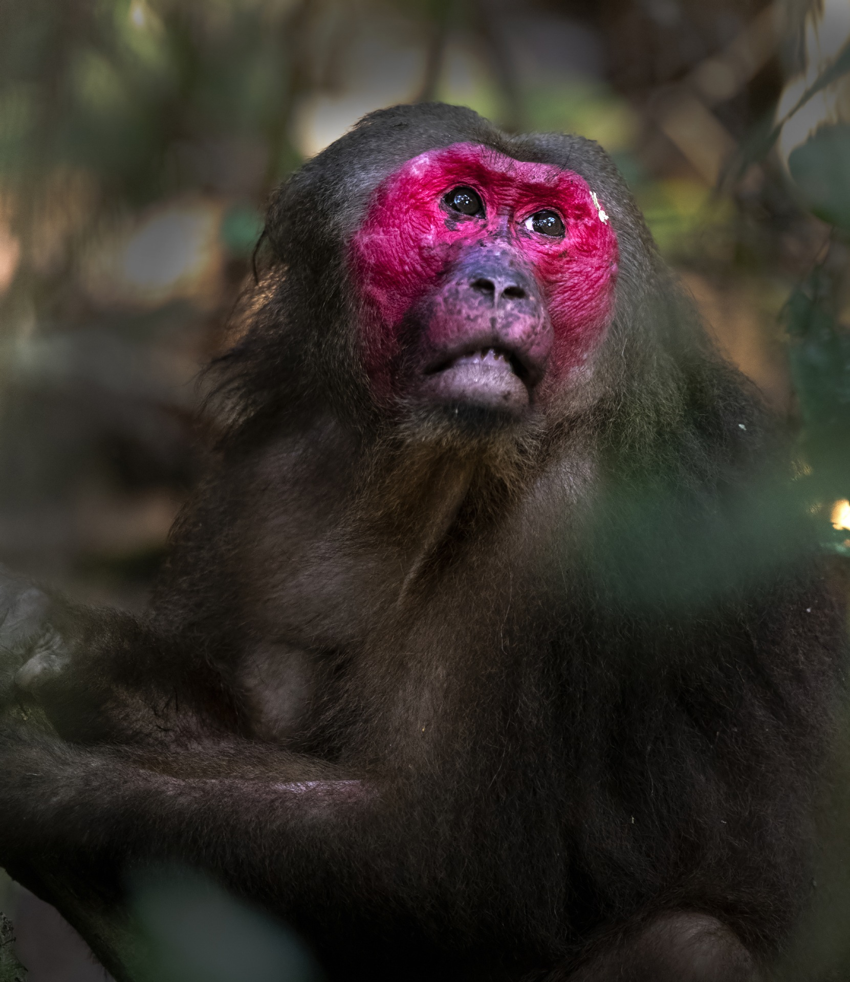 The stump-tailed macaque is easily identified by its strikingly bright reddish-pink face, which turns darker with age. Photo: Udayan Borthakur