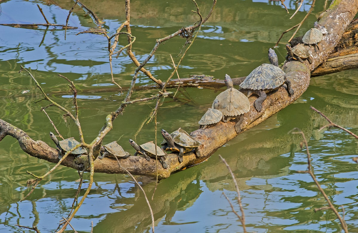 The Assam roofed turtle prefers cooler, slow-flowing rivers, but stays away from muddy banks. It is also spotted in the beels or waterbodies of Kaziranga National Park, swiftly diving into the waters and hiding among rocks or floating foliage, at any sign of threat. 